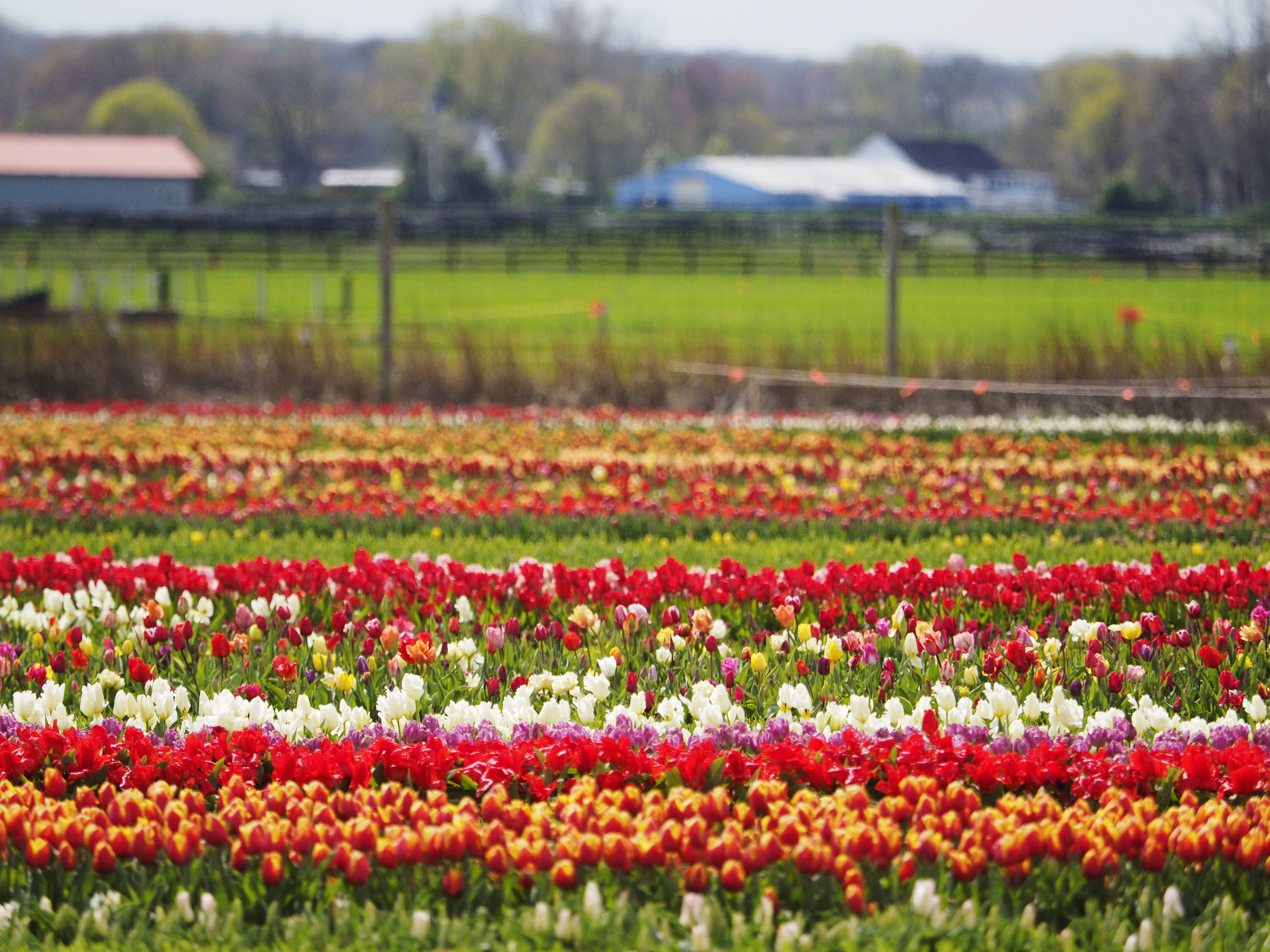 Lowering The Boom On This Spring S Bloom At Popular Garden State Tulip Farm Nj Com