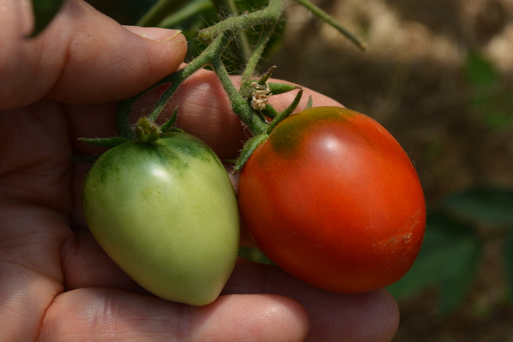 It S Tomato Time In Oregon Tips For Ripening Picking And Preserving Your Harvest Oregonlive Com