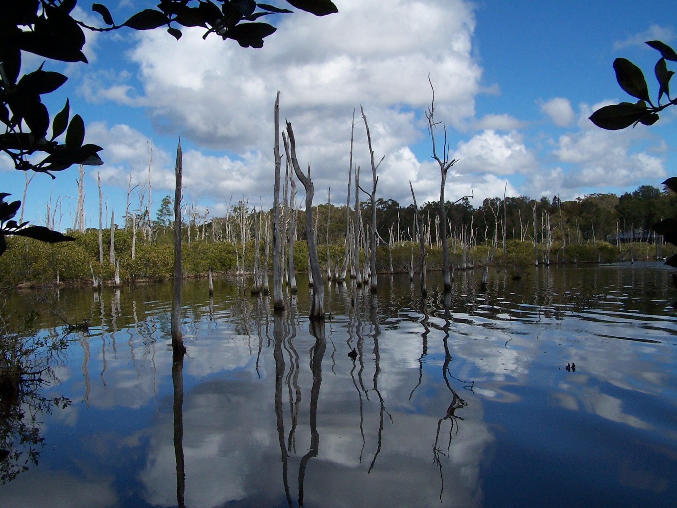 Mangrove plants flourish on coastlines, but rising seas may eradicate them by 2050
