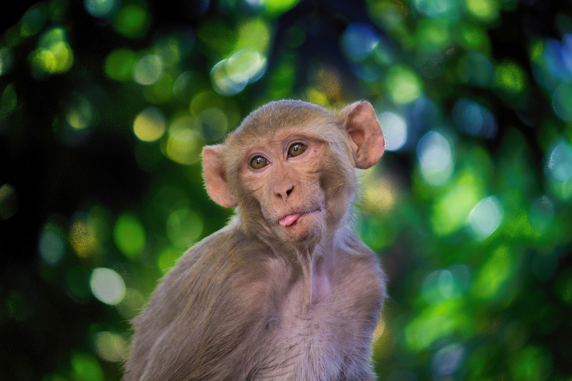 Studies in monkeys show that coronavirus immunity holds up in vaccine treatments