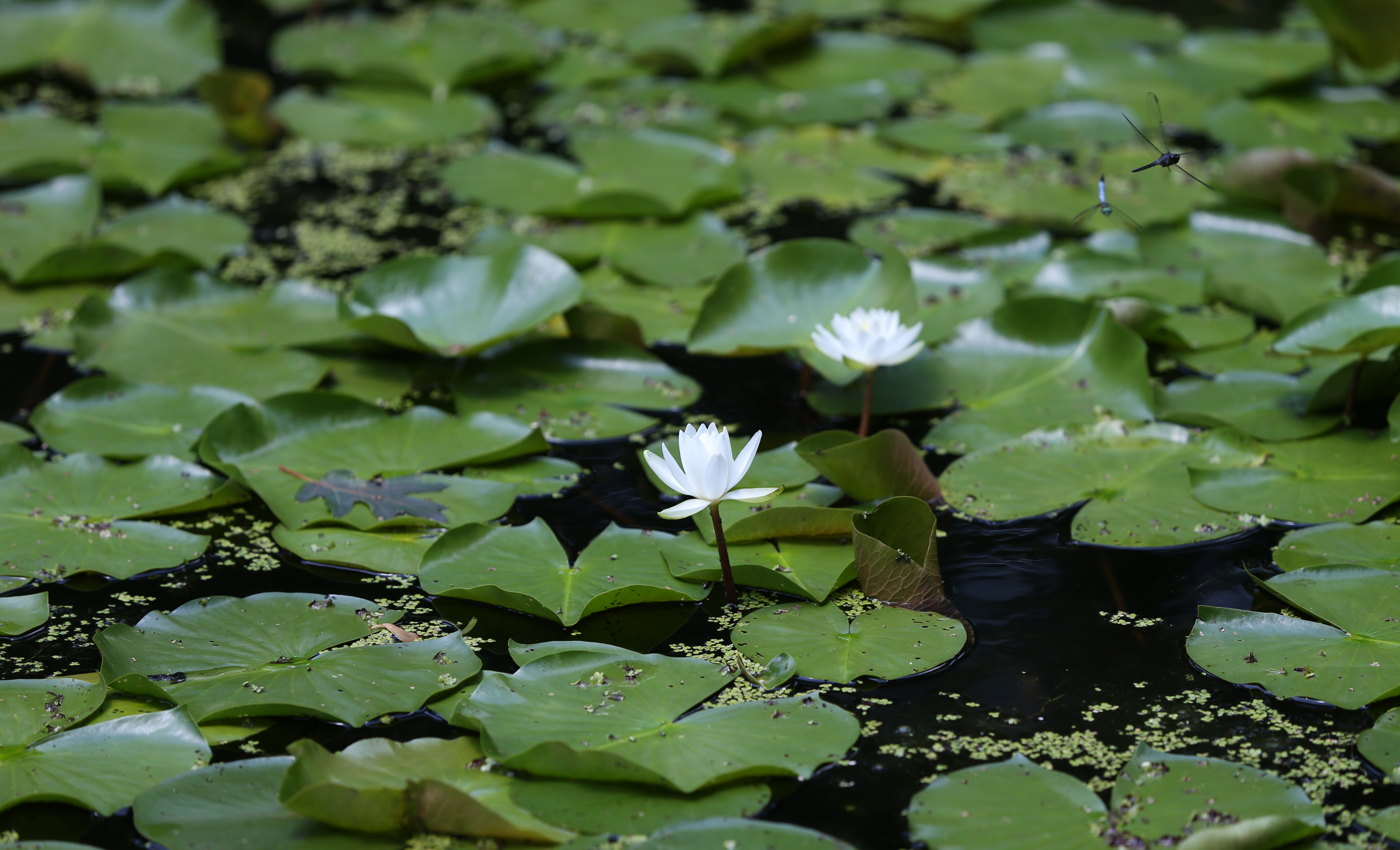 The lily pond at Garden in the Woods.