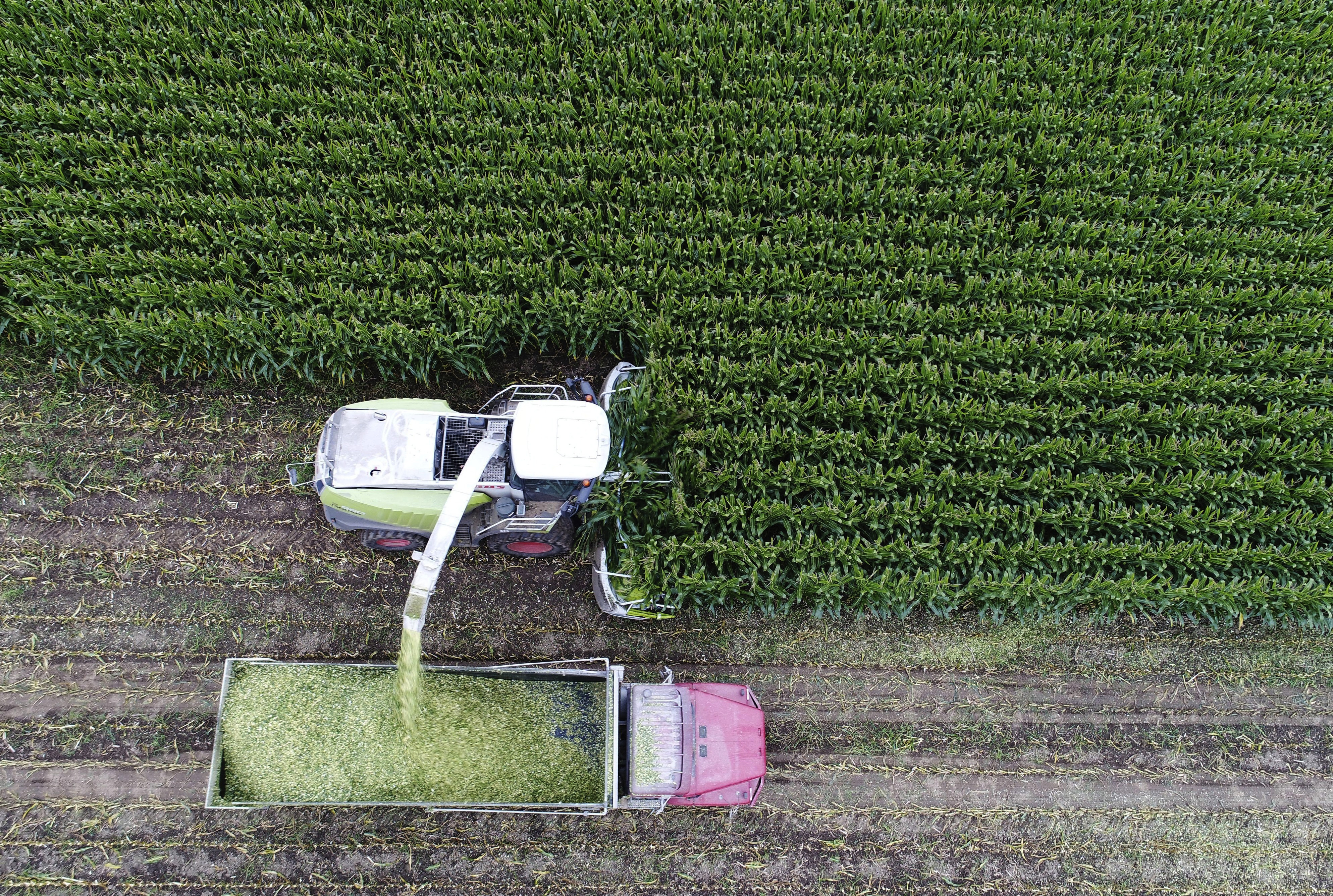 Corn is harvested and chopped for silage at High Lawn Farm in Lee.