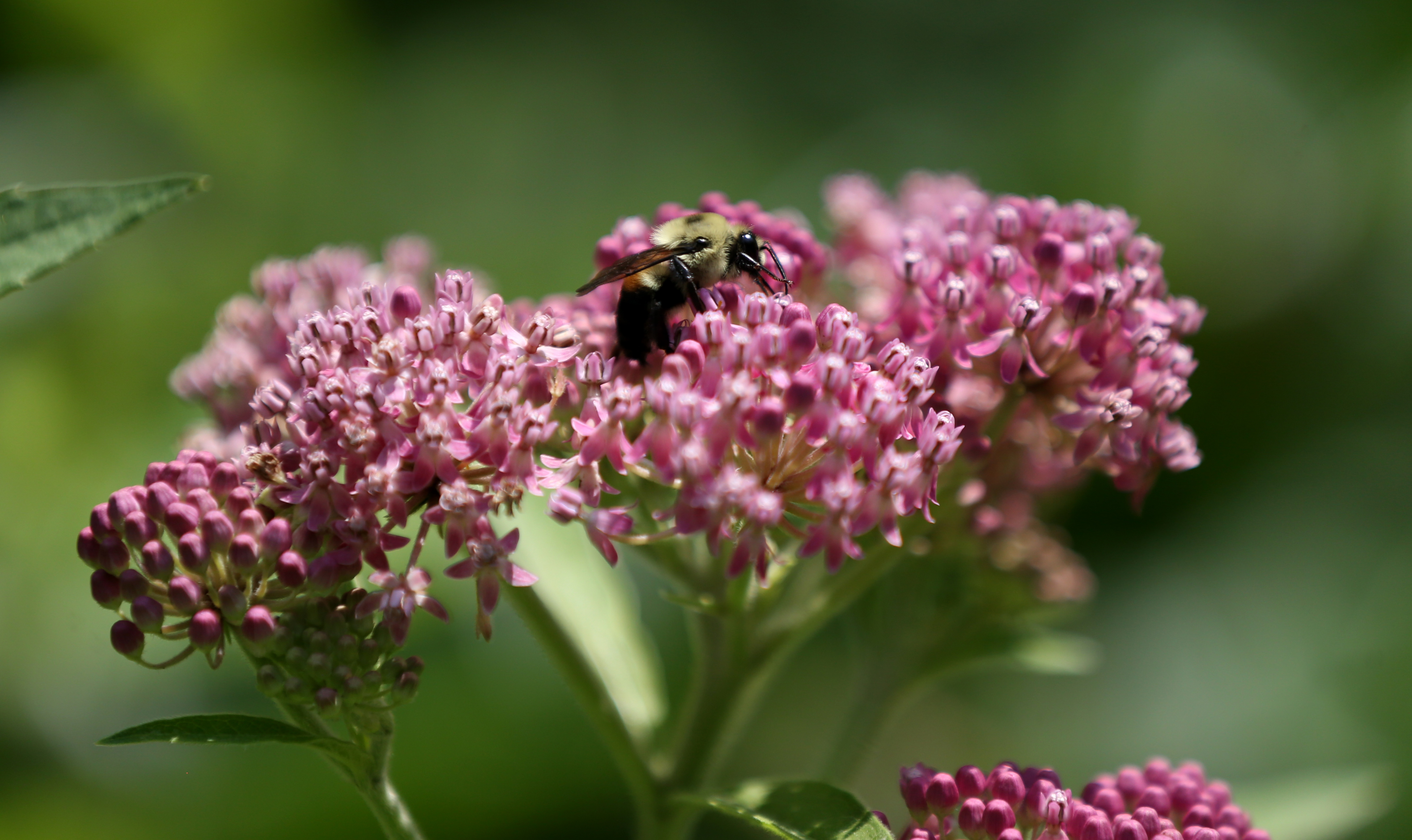 A bumblebee in the garden in the forest.