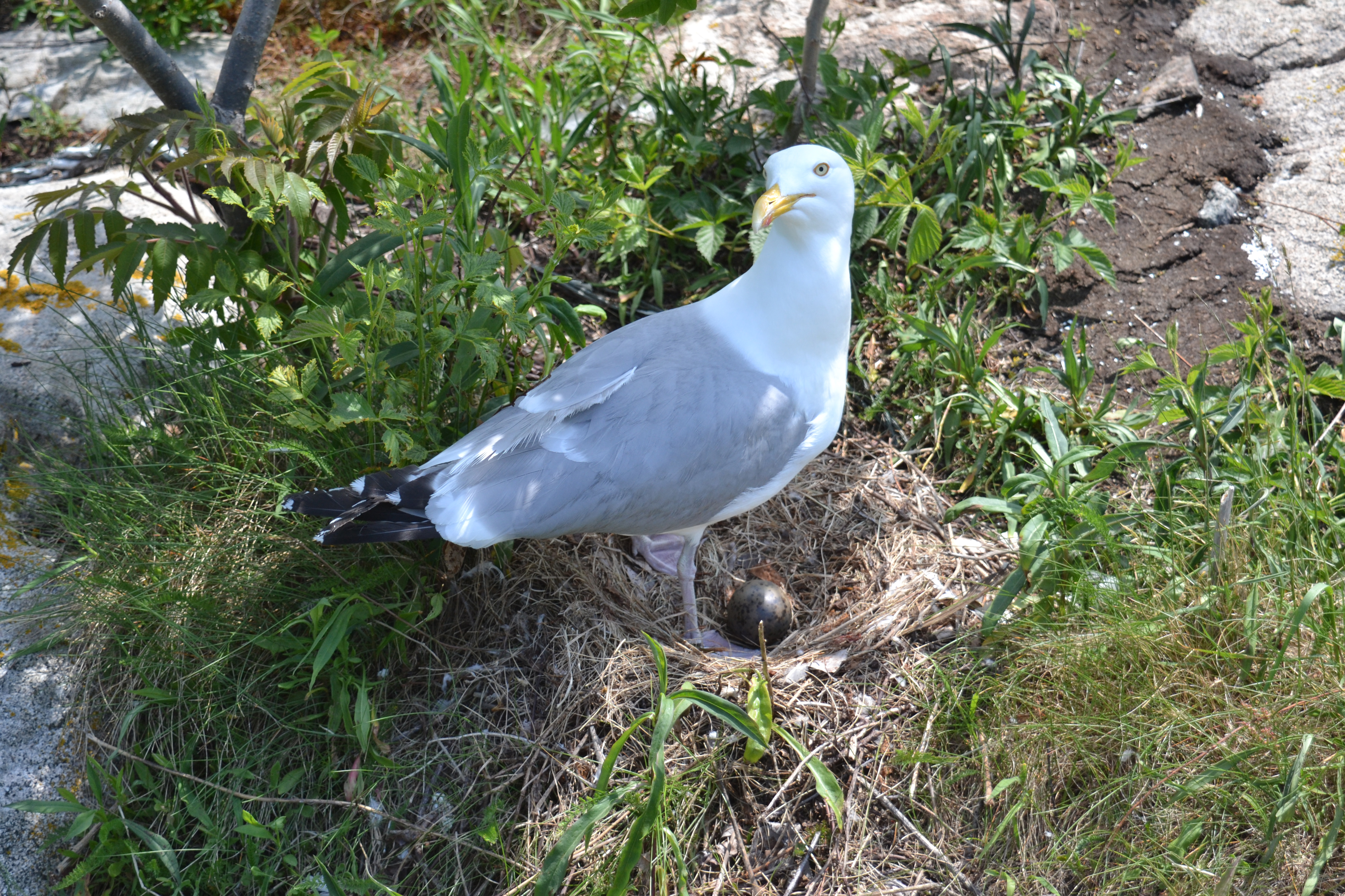 Seagulls love Thacher Island;  here is one with its newly hatched egg.