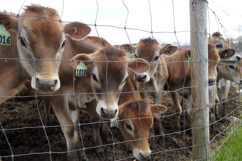 Jersey heifers graze at High Lawn Farm in Lee.