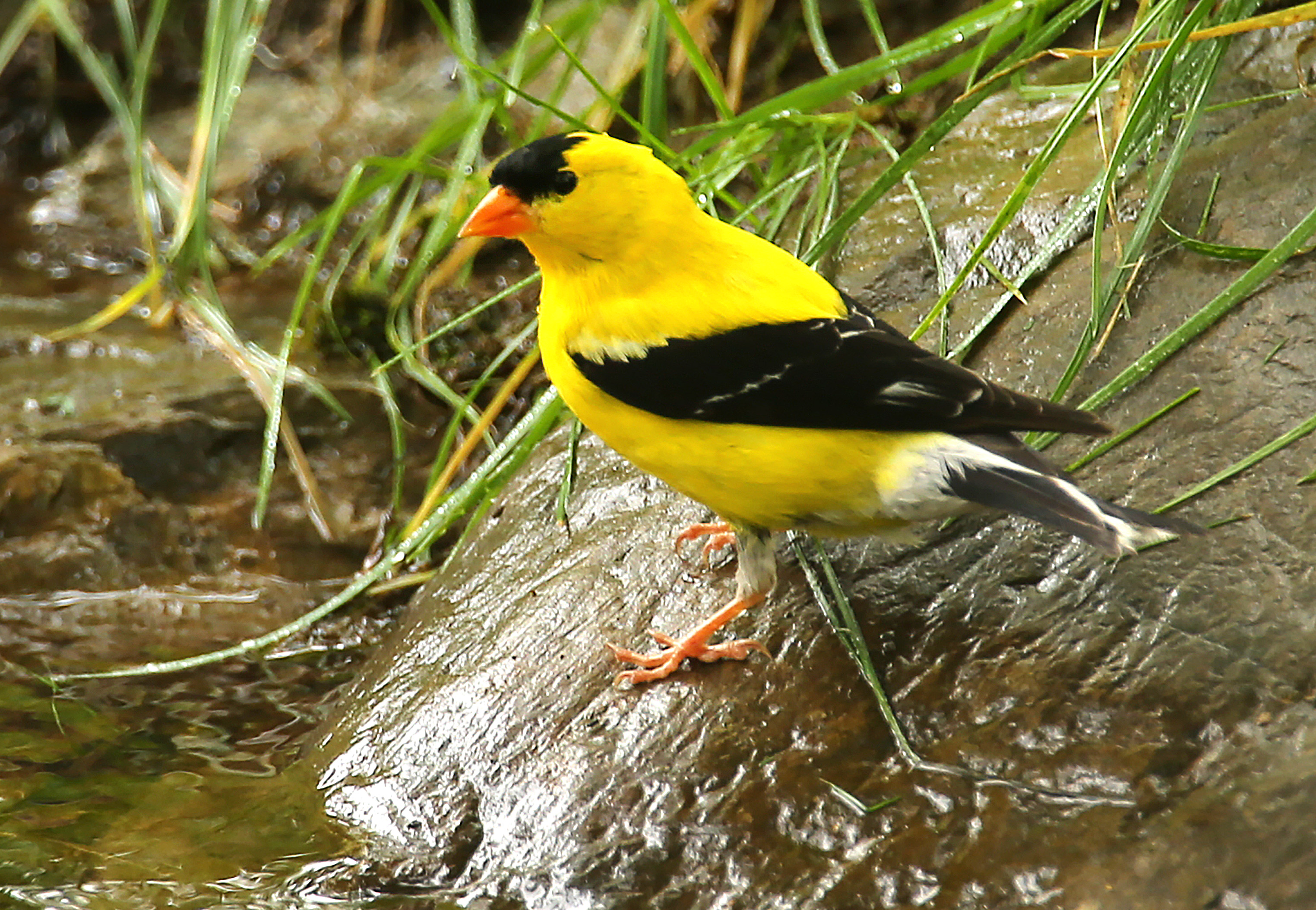 A goldfinch perches on a rock near a flowing stream beside a path at the end of the world.