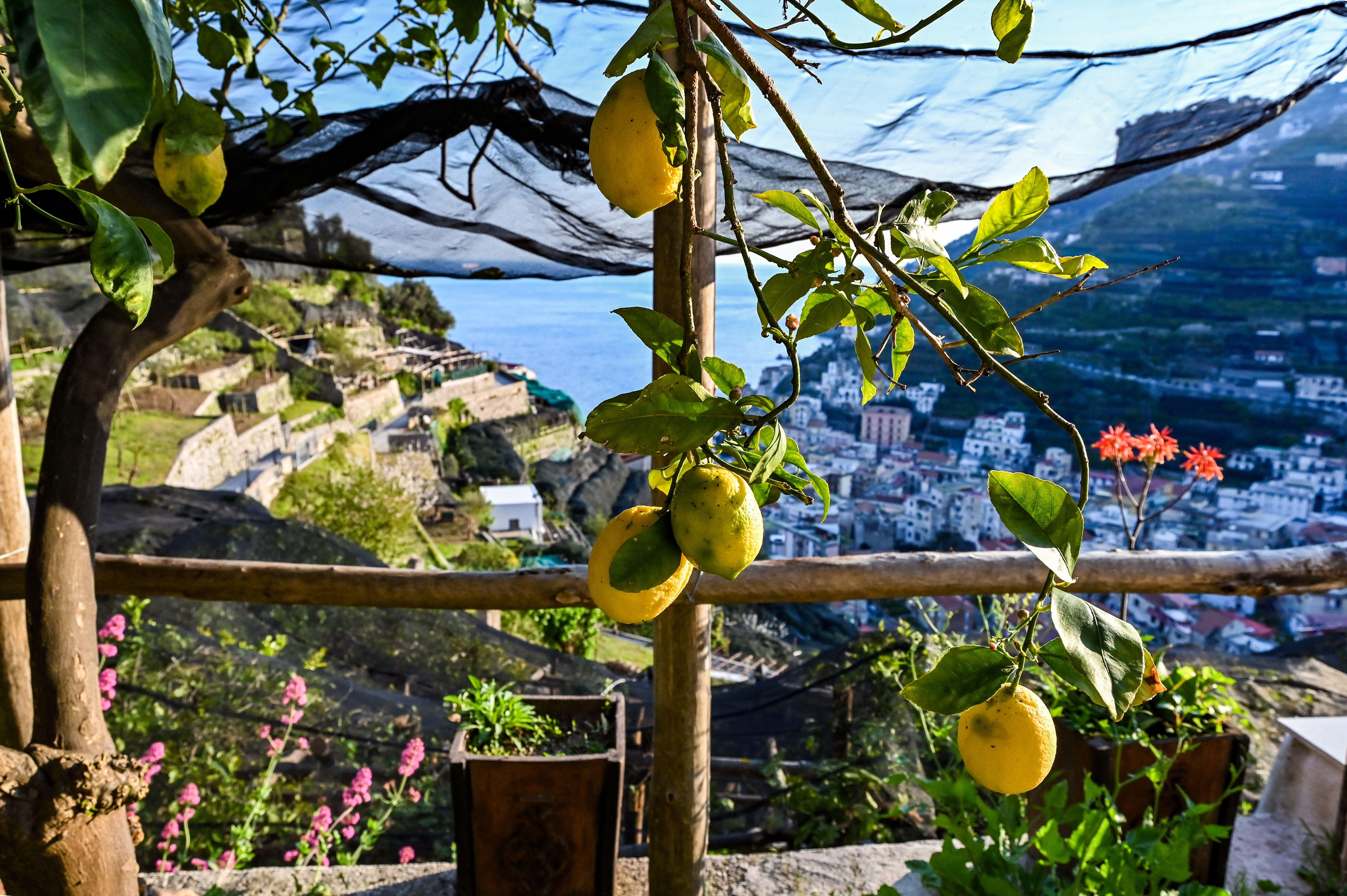Lemon trees on the Amalfi Coast.  EF Go Ahead Tours offers food and wine tours to take clients to the Amalfi Coast, Bordeaux and beyond.