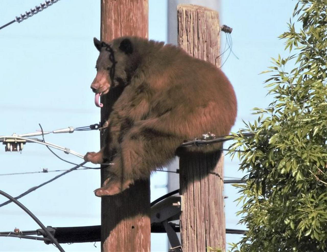 High-wire act: Bear stakes brief claim atop utility poles in Arizona border town