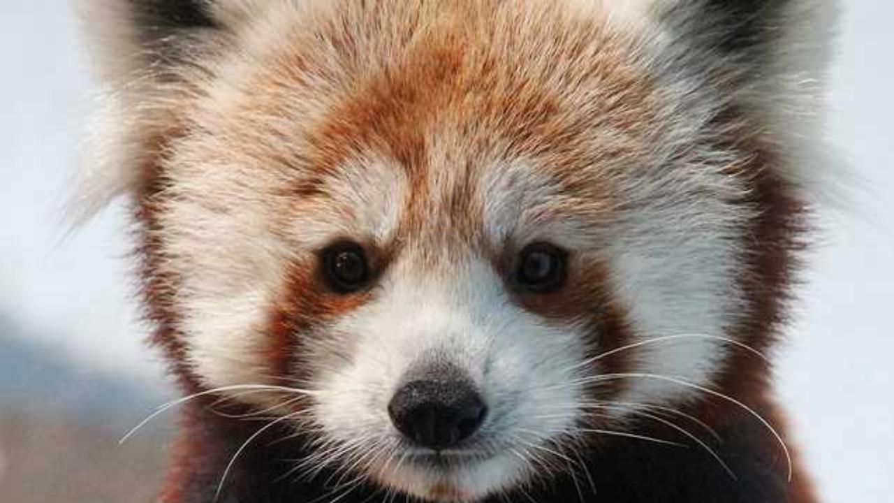 Birmingham Zoo welcomes red panda, infant howler monkey