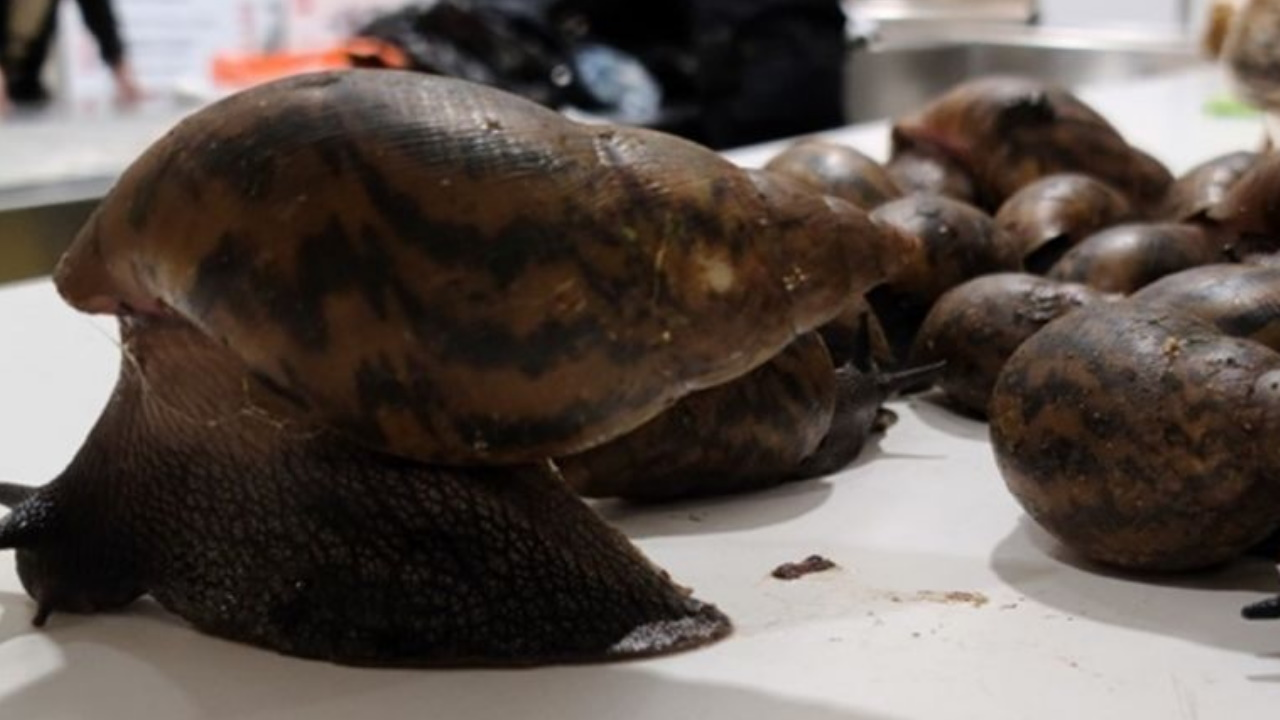 22 giant invasive African snails found in man's luggage at JFK airport