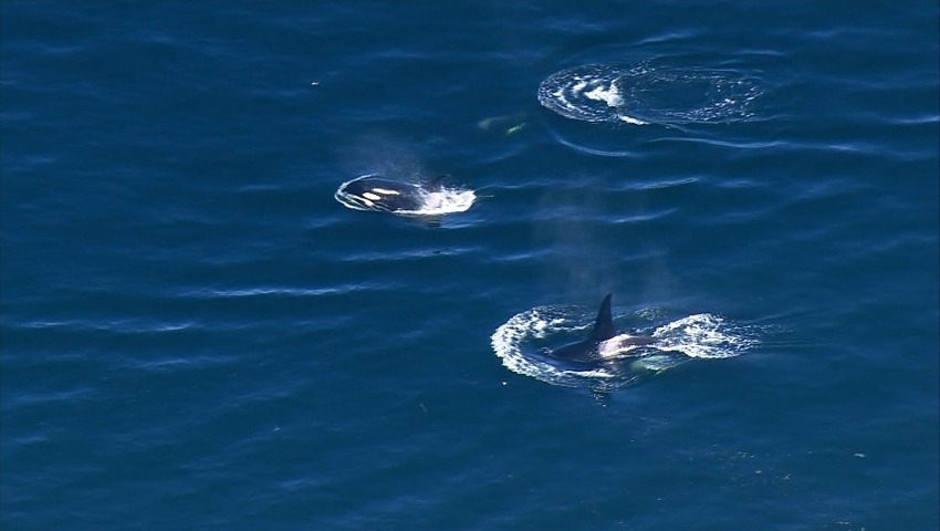 Southern resident orca pod in best condition in decade