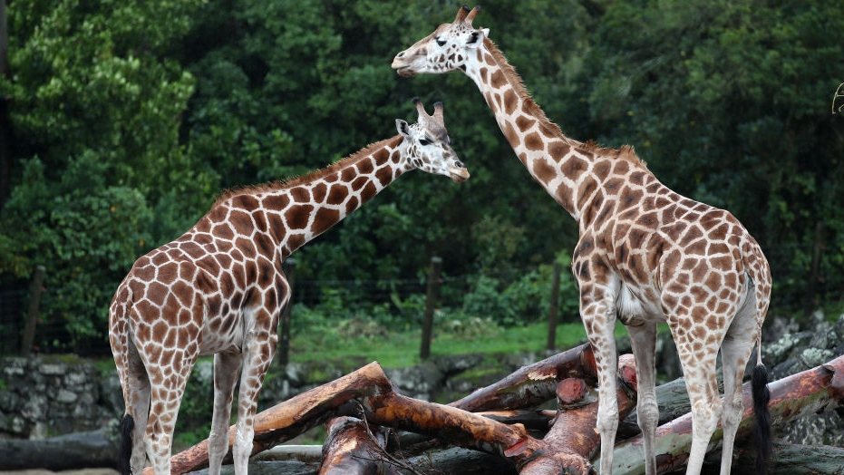 Giraffe calves join family at Disneys Animal Kingdom