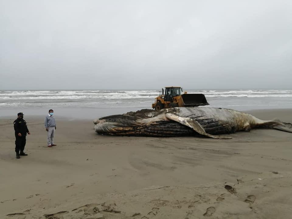 Lambayeque: entierran a ballena jorobada de 13 metros que varó en playa de Mórrope