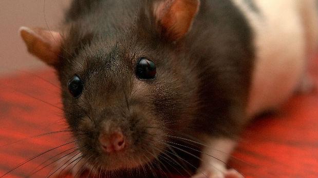 ¿Qué significa Soñar con ratas? ¿Una futura traición de tus amigos? entérate de todo