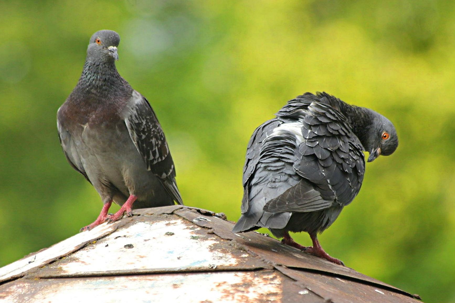Duración de la vida de las palomas
