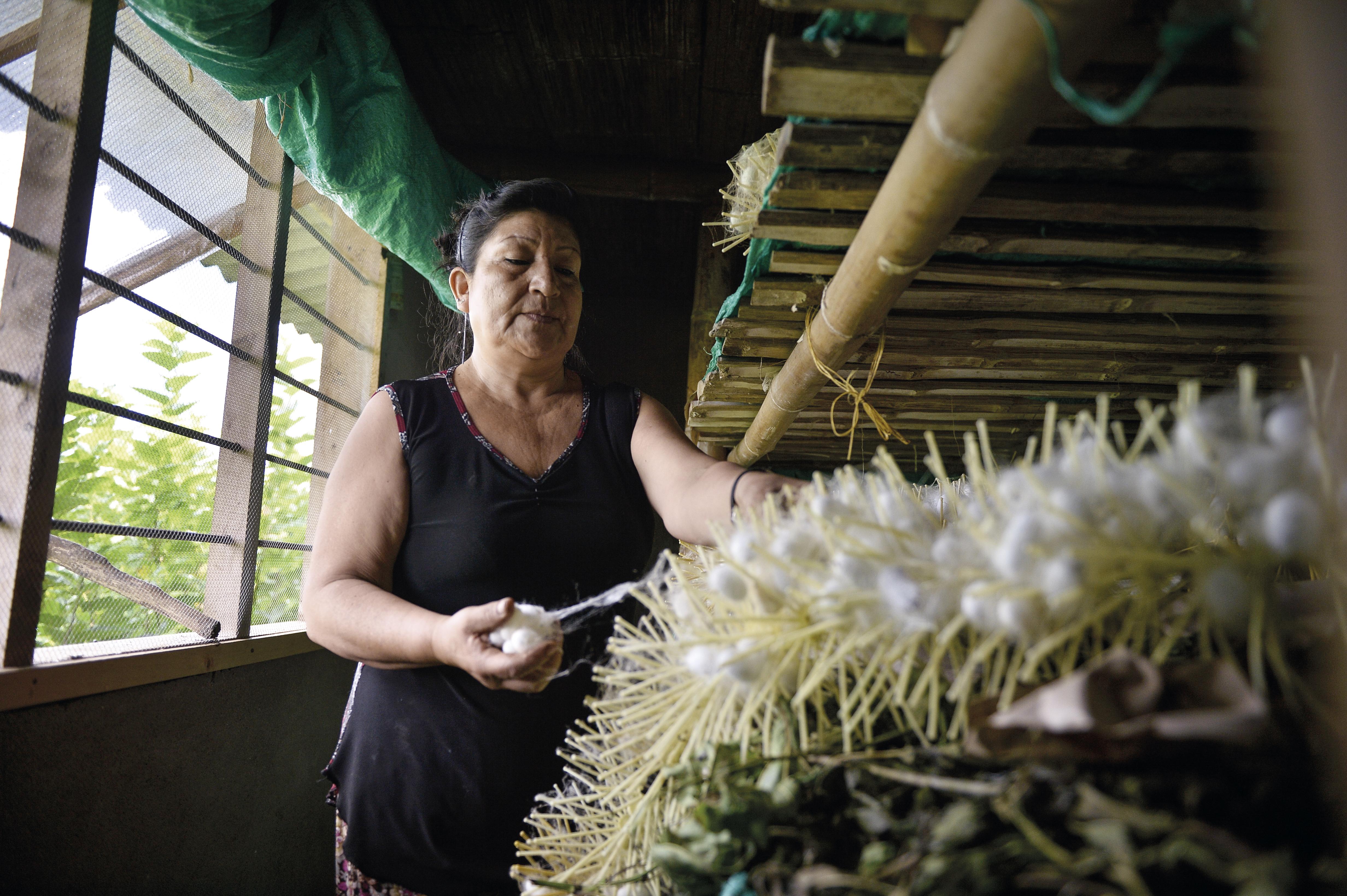 Las Fibras De La Seda En Colombia Están En El Cauca El Espectador