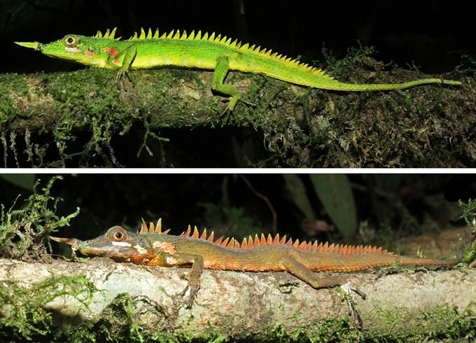 El lagarto con cuernos de nariz de un Modigliani es típicamente verde brillante y amarillo (arriba), pero el reptil se vuelve marrón anaranjado bajo estrés (abajo).