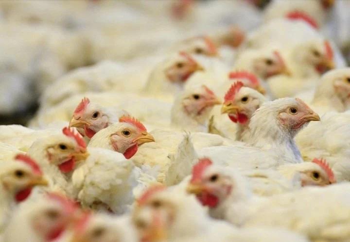 Los embarques de carne de pollo aumentaron 1,5% entre enero y mayor de este año