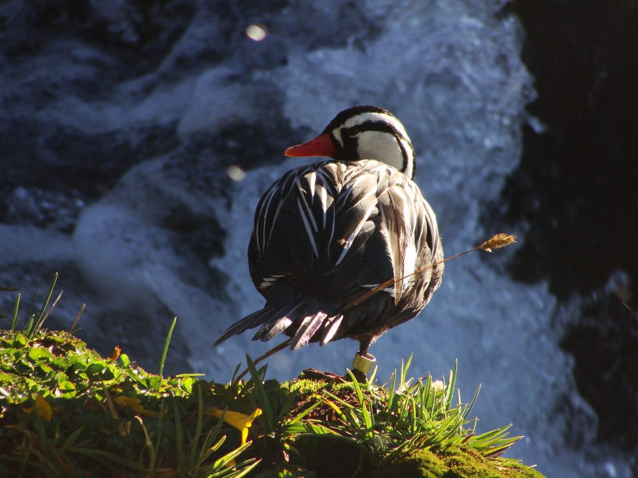 Ambientalistas denuncian que las obra ponen riesgo un ave que pertenece a una especie protegida.