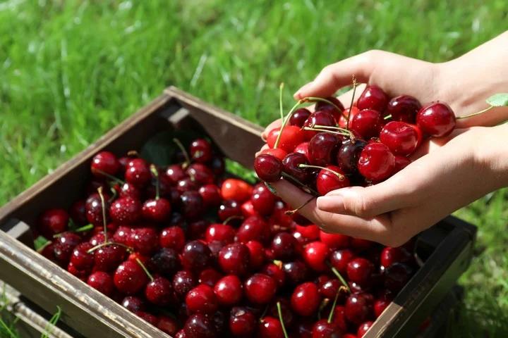 Las exportaciones de cerezas crecieron un 65% en el primer tramo de este año