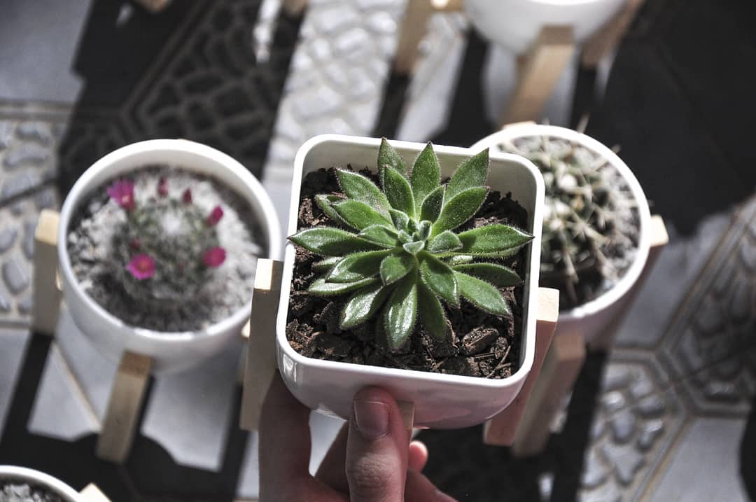 De diferentes tamaños y tipos, se transformaron en las plantas fetiches para espacios pequeños. Pero se tiene que respetar el tiempo de adaptación y no exponerlas al sol directo.