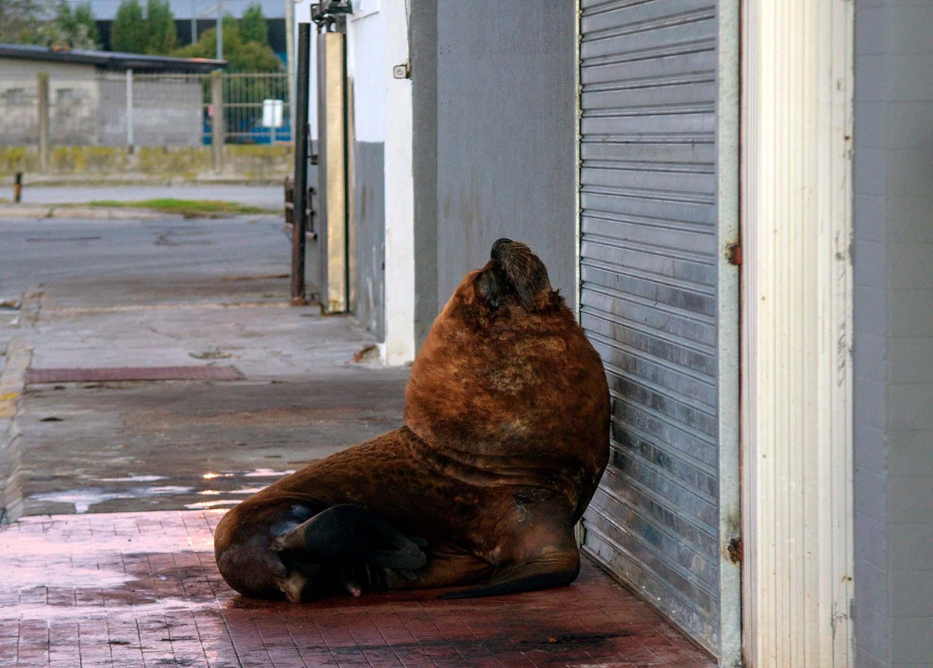 Un león marino frente a un comercio cerrado del puerto de Mar del Plata durante la cuarentena estricta