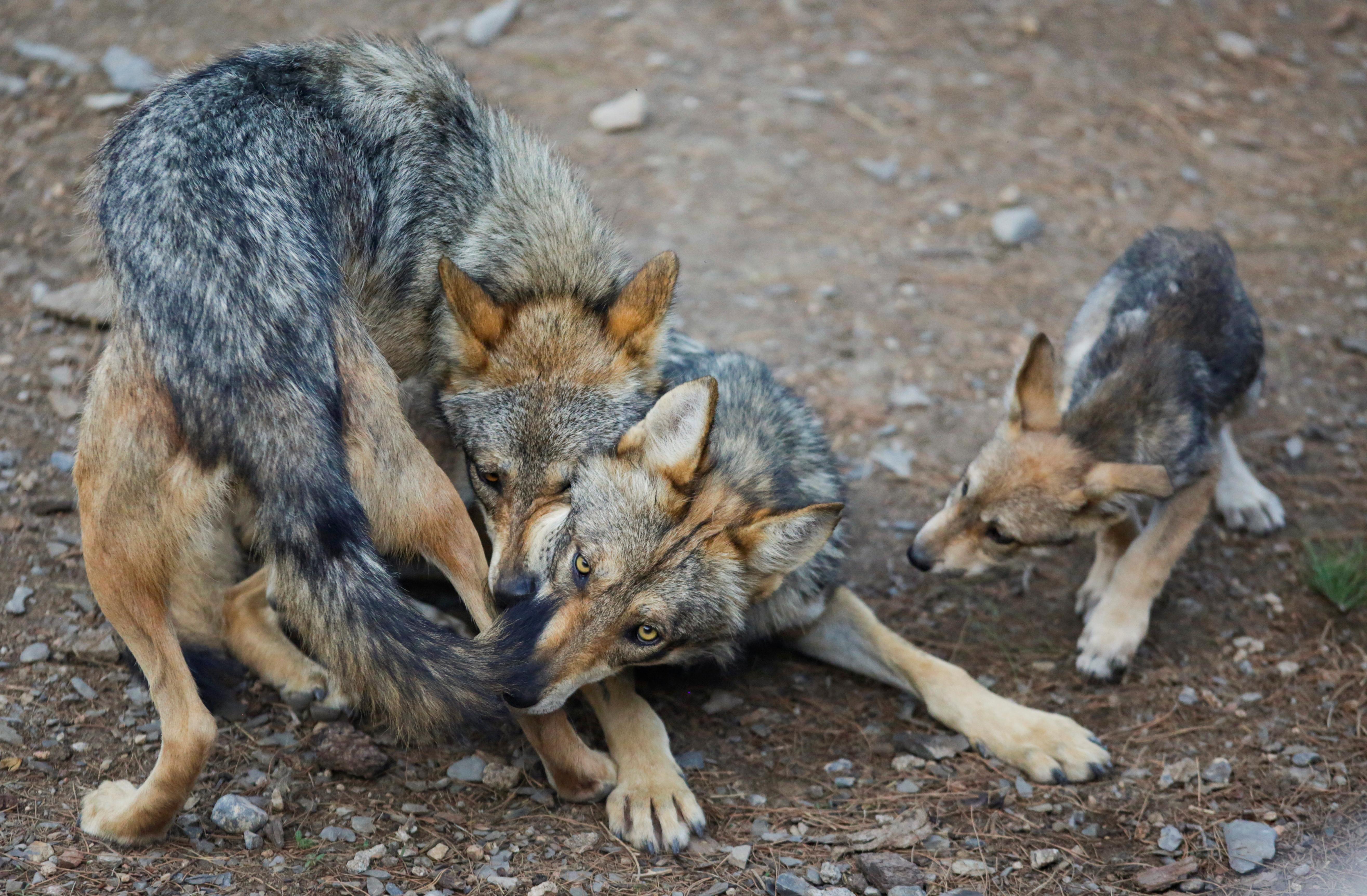 Desde 2009, el Museo del Desierto forma parte del Comité Binacional para la Recuperación del Lobo Gris Mexicano, integrado por más de 50 instituciones de México y Estados Unidos, 2 de Julio, 2020. (Foto: REUTERS/Daniel Becerril)