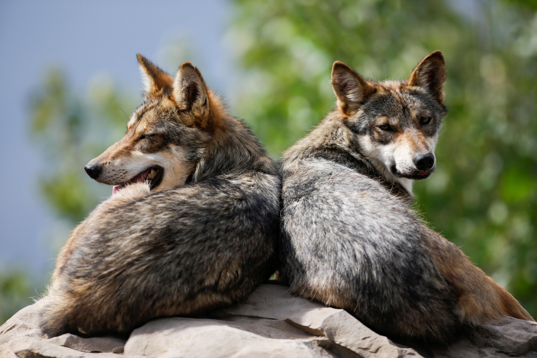 Los lobos grises mexicanos, una especie nativa en peligro de extinción, se ven descansando en su recinto en el Museo del Desierto en Saltillo, México, 1 de julio de 2020. (Foto: REUTERS / Daniel Becerril)
