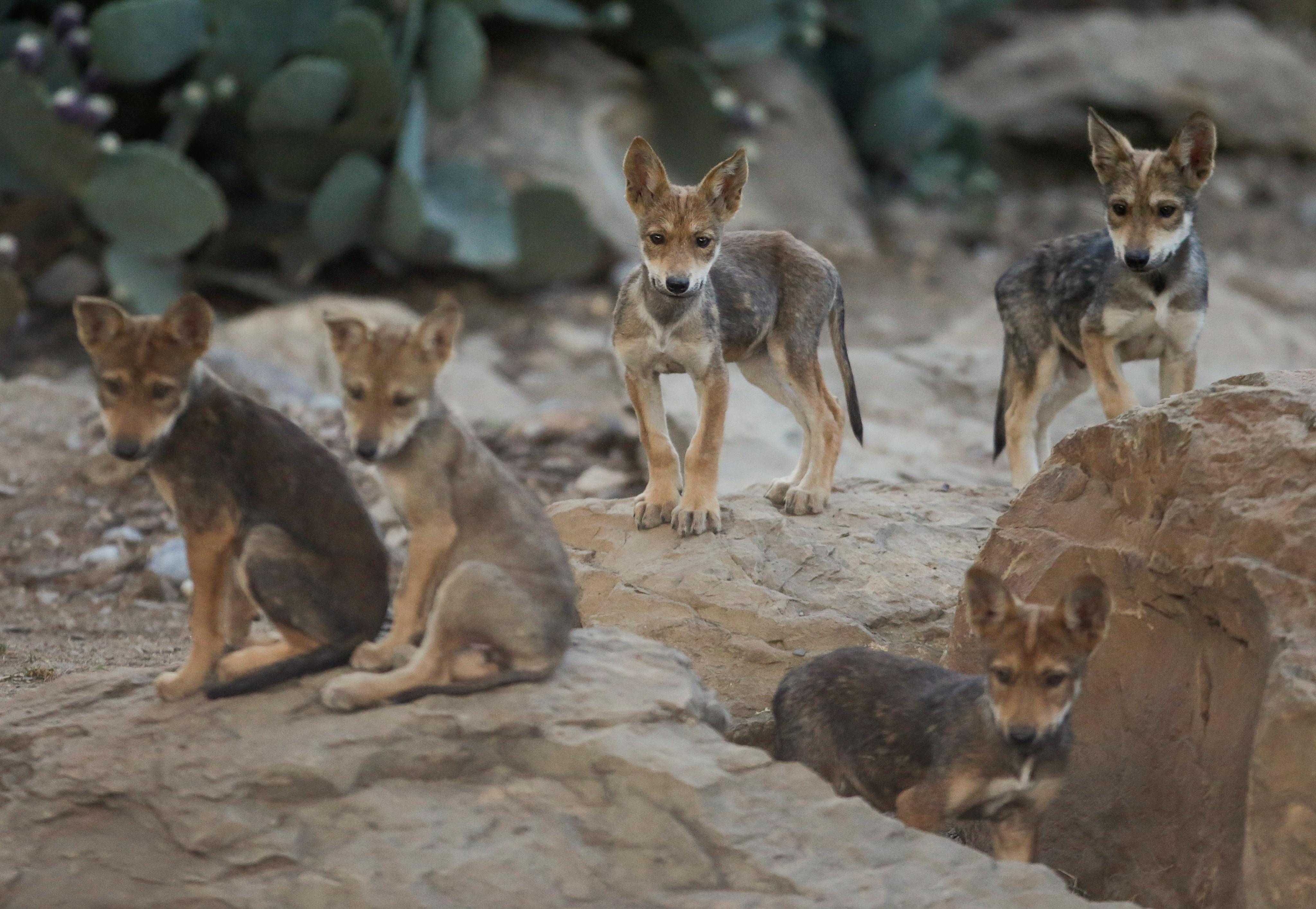 En México existen más de 30 ejemplares en vida silvestre provenientes del programa de recuperación, mientras que en Estados Unidos se reportan más de 100 ejemplares en vida silvestre. 2 de julio, 2020. (Foto: REUTERS/Daniel Becerril)