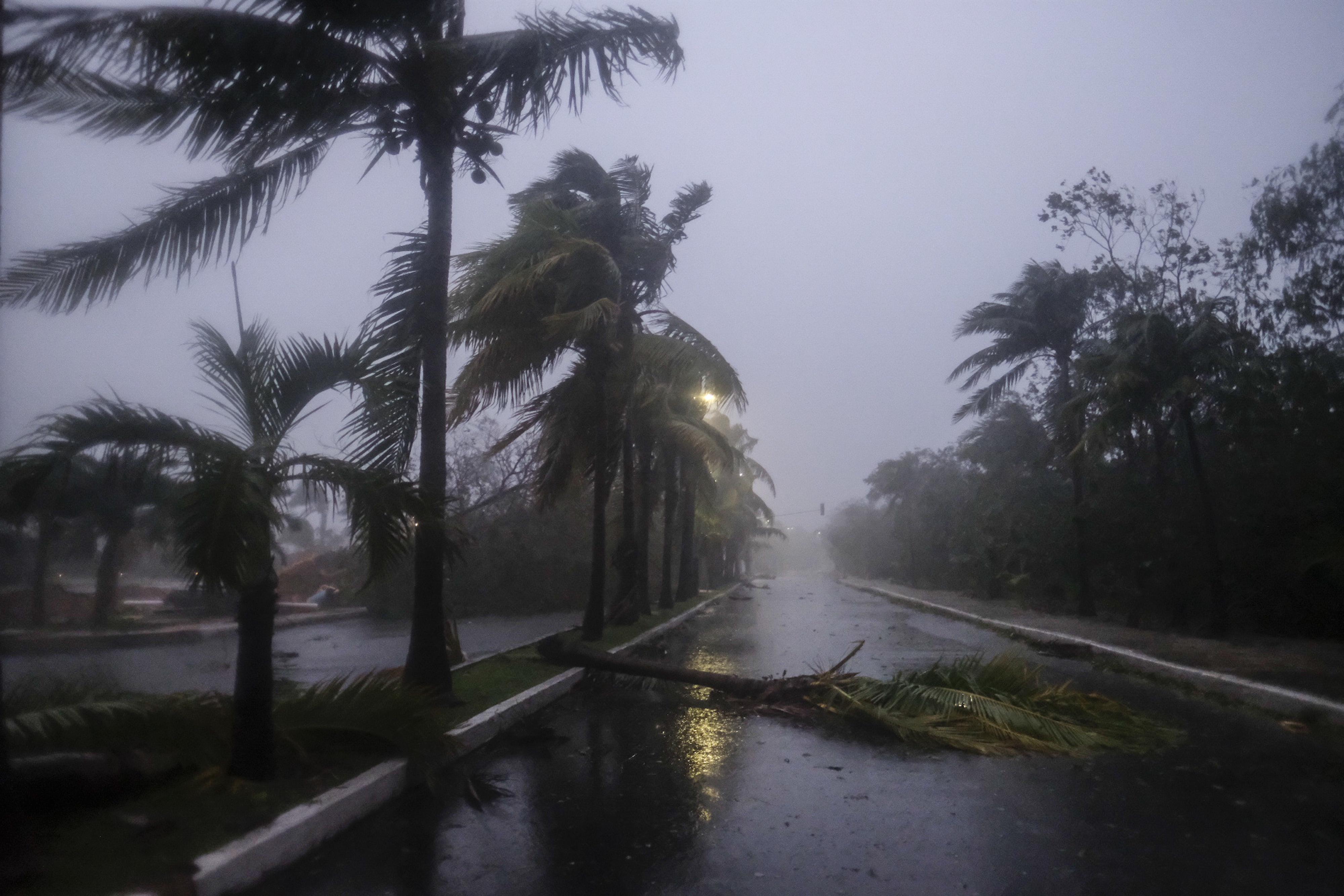 Una palmera caída después del paso del huracán Delta en Cancún, en Cancún, México, el miércoles 7 de octubre de 2020.