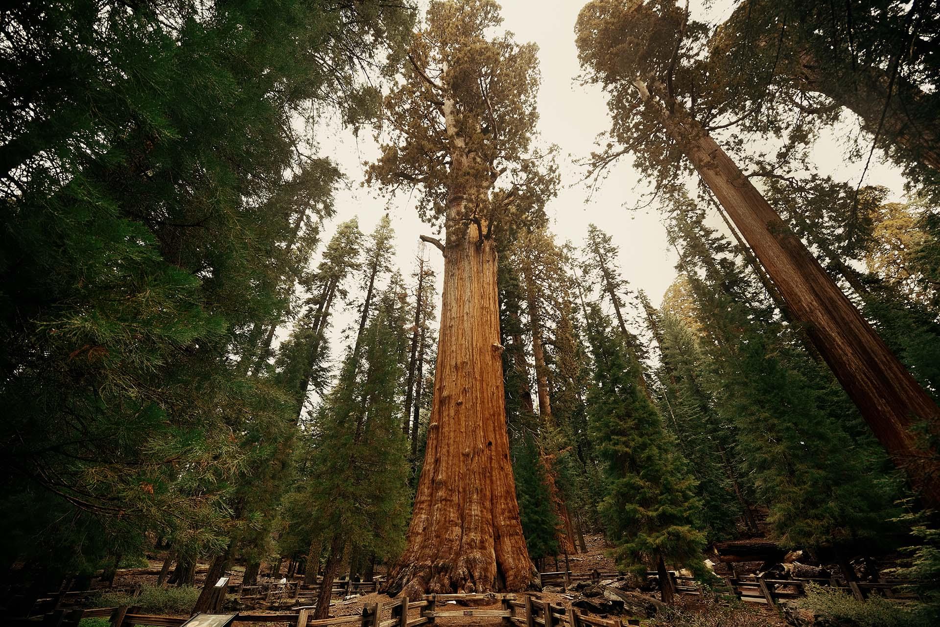 El General Sherman Tree, que se encuentra en el Parque Nacional Sequoia, tiene el récord del árbol más grande del mundo. General Sherman es un ejemplar concreto de Sequoiadendron giganteum (Secuoya Gigante), emparentado con el género Sequoia. Se encuentra en Giant Forest, dentro del Sequoia National Park, California Estados Unidos (Parque Nacional de las Secuoyas) junto con otros ejemplares de similar porte. Está considerado como el ser vivo con mayor cantidad de biomasa de la Tierra