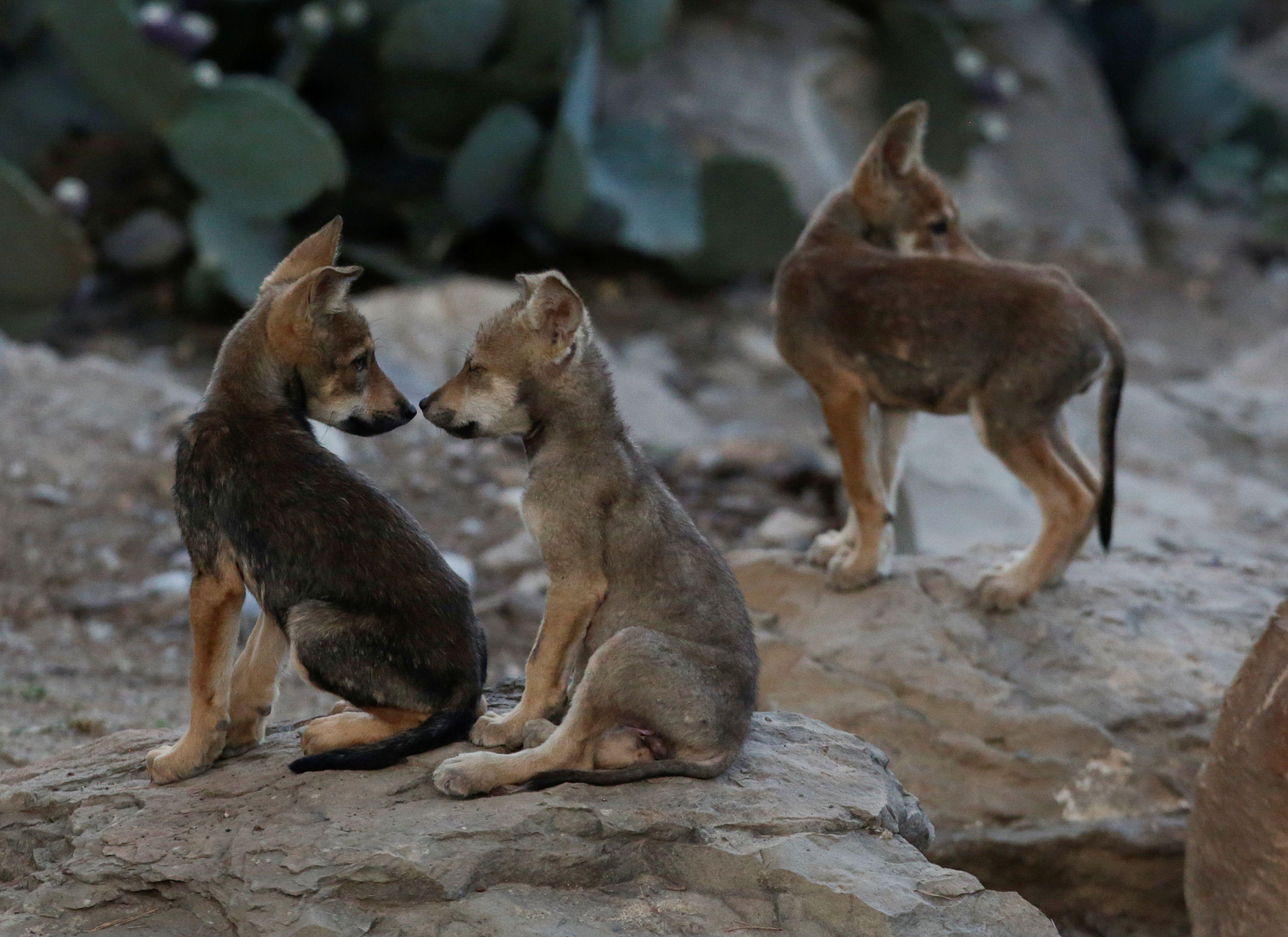 Estudios indican que el lobo gris habitaba históricamente desde el sur de Estados Unidos hasta el centro de México, pero a finales de la década de 1970 la especie estuvo a punto de desaparecer debido a la campaña de erradicación de la que fue objeto. 2 de julio de 2020. (Foto: REUTERS/Daniel Becerril)