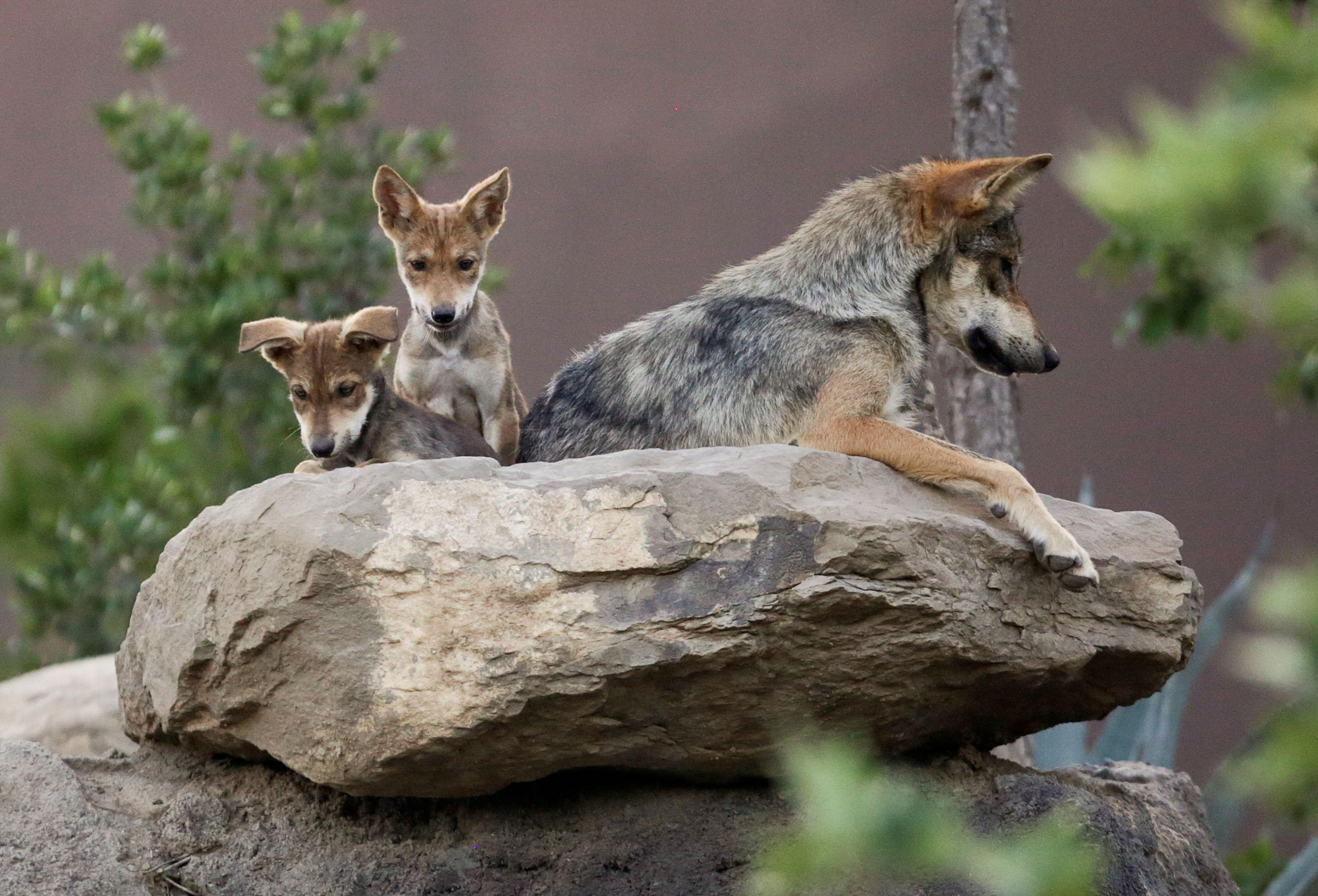 Los cachorros de lobo gris mexicano, se ven en su recinto en el Museo del Desierto en Saltillo, México, 2 de julio de 2020. (Foto: REUTERS / Daniel Becerril)