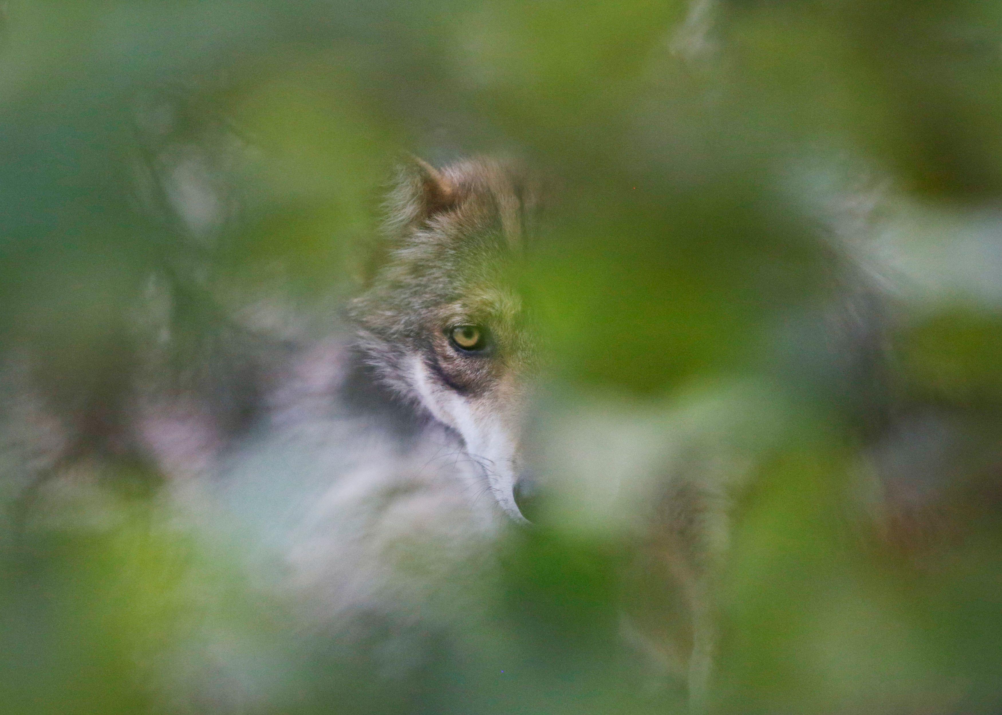 Un lobo gris mexicano, una especie nativa en peligro de extinción, es fotografiado a través de un árbol en su recinto en el Museo del Desierto en Saltillo, México, 1 de julio de 2020. (Foto: REUTERS / Daniel Becerril)