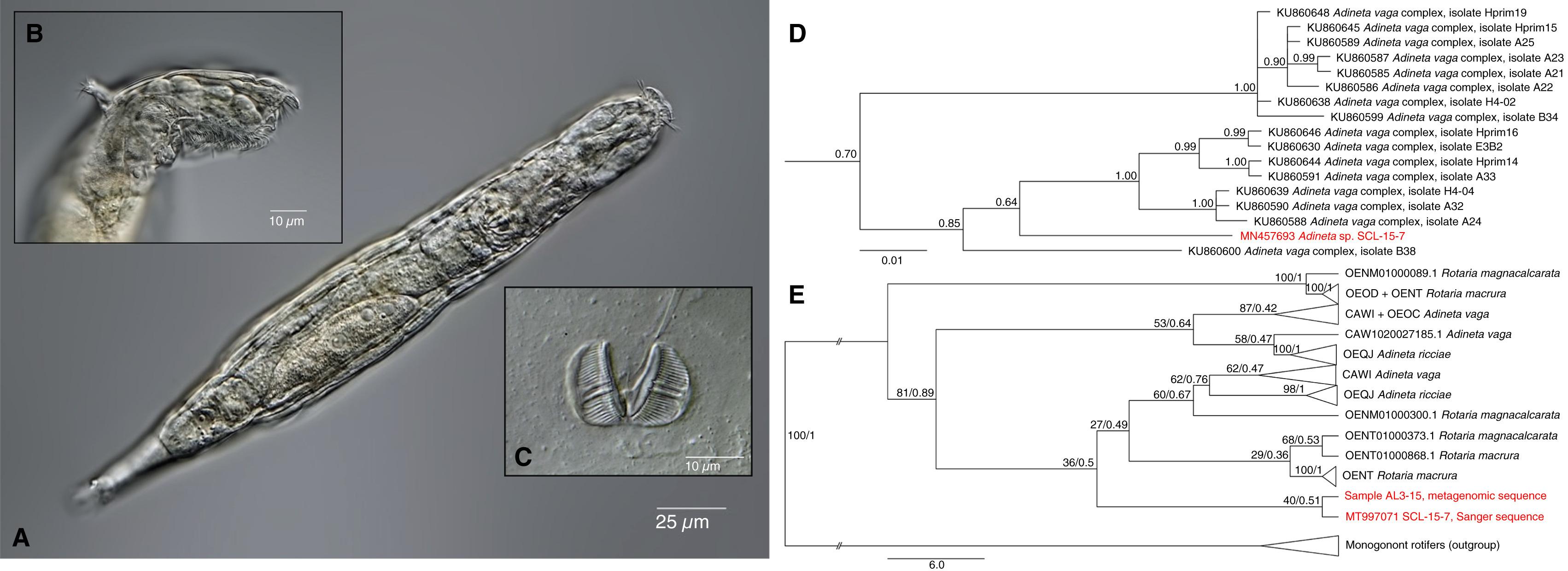Investigadores rusos descubrieron animal microscópico que volvió a la vida luego de estar congelado por 24, 000 años (Foto: Current Biology)