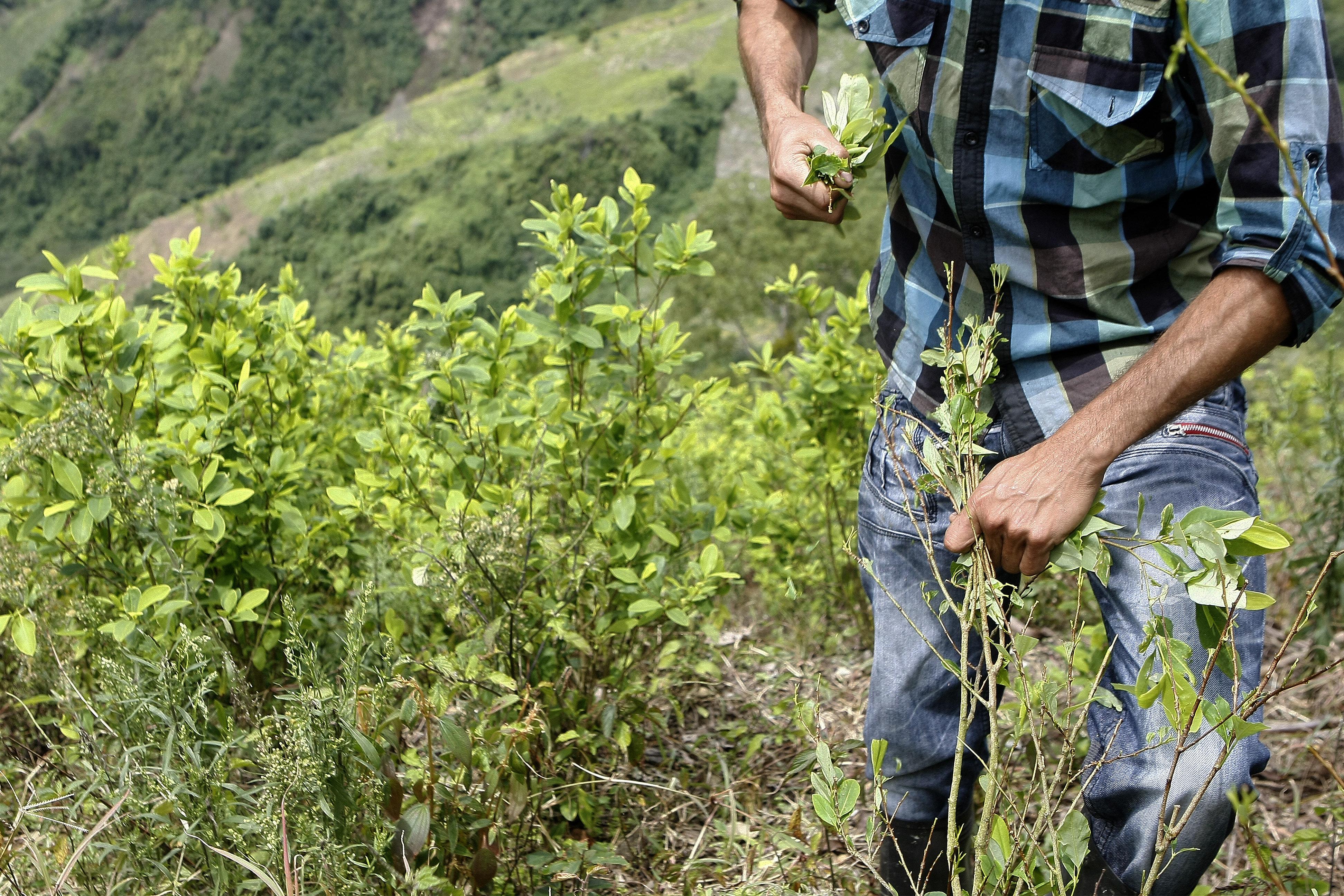 La ONU informó de una disminución del 9% de los cultivos de coca en Colombia  - Infobae