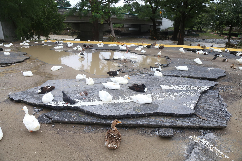 Unos patos descansan este lunes sobre una calle destruida por el ciclón Hanna, en Monterrey México.
