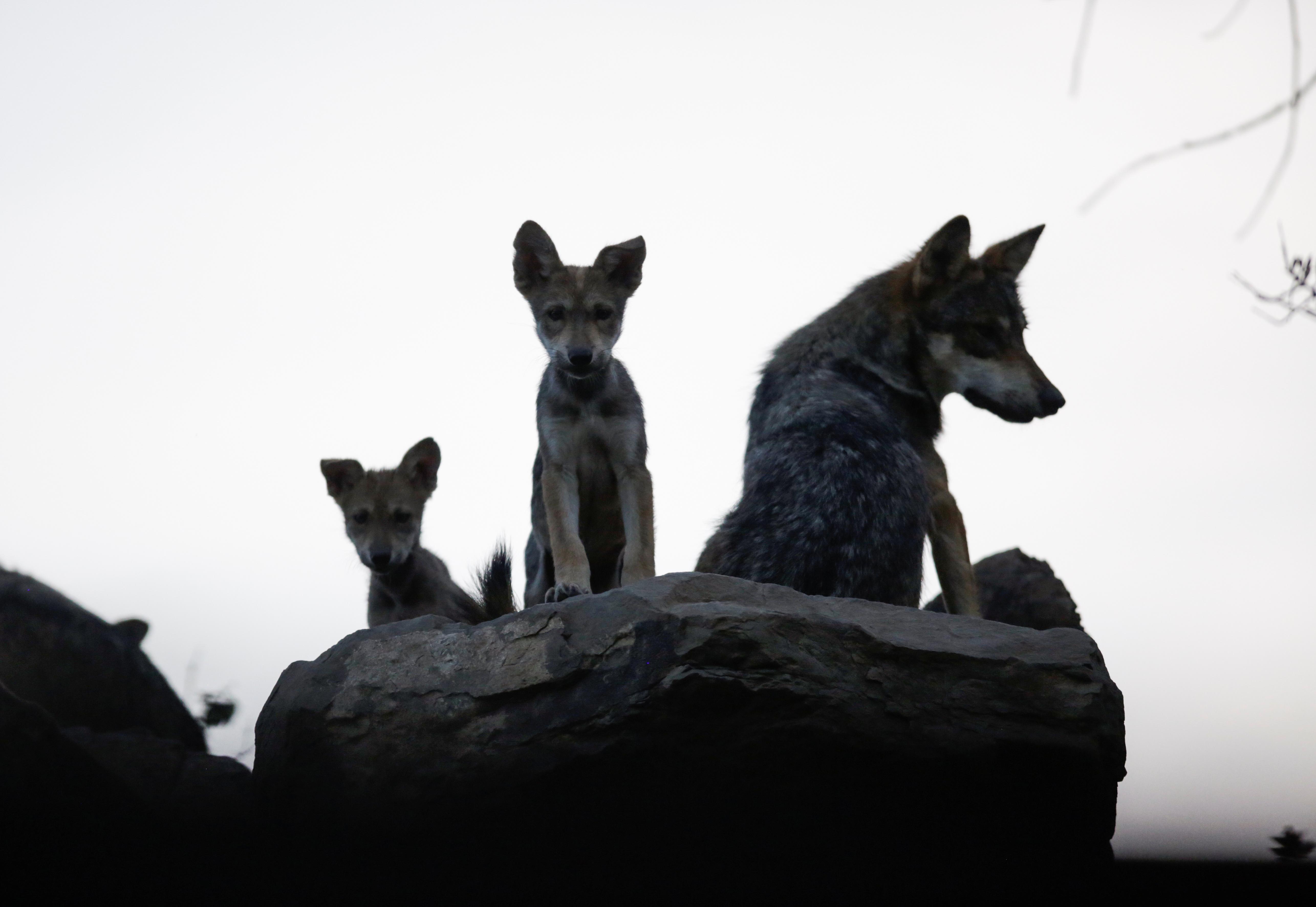 Según el museo, el lobo gris mexicano es la especie que corre más riesgo de desaparecer y la subespecie de menor talla en Norteamérica. 2 de julio de 2020. (Foto: REUTERS / Daniel Becerril)