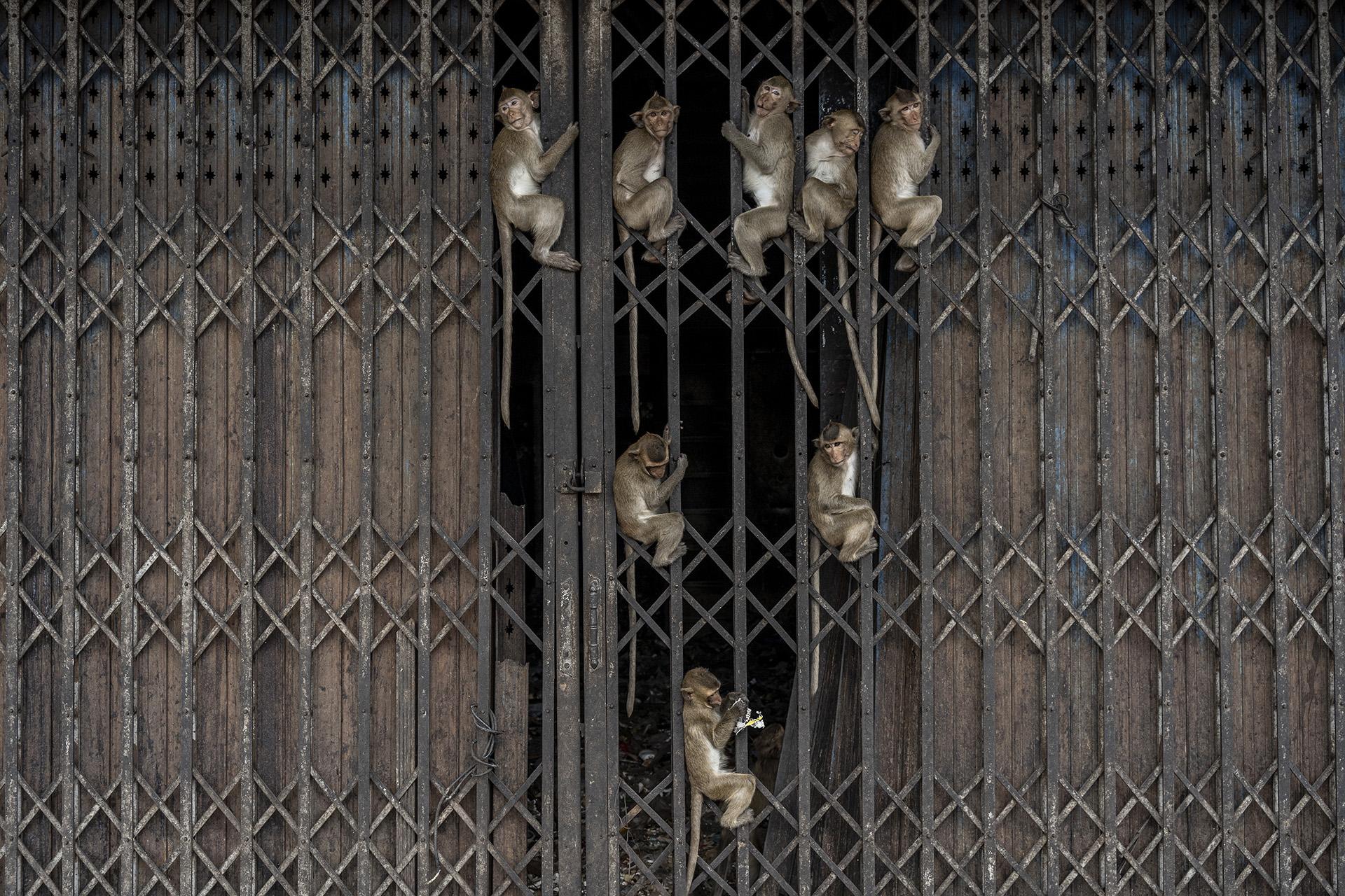 Monos aferrados a las rejas de un negocio de los muchos que decidieron cerrar por la invasión.
