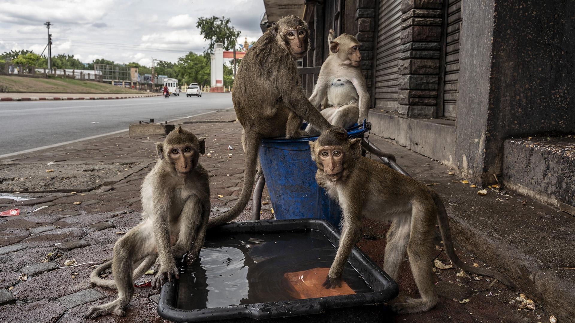 Monos beben agua afuera de una tienda en Lopburi, Tailandia, donde manadas de macacos cangrejeros que eran un atractivo turístico pasaron a ser una molestia grave para los pobladores (Adam Dean/The New York Times)
