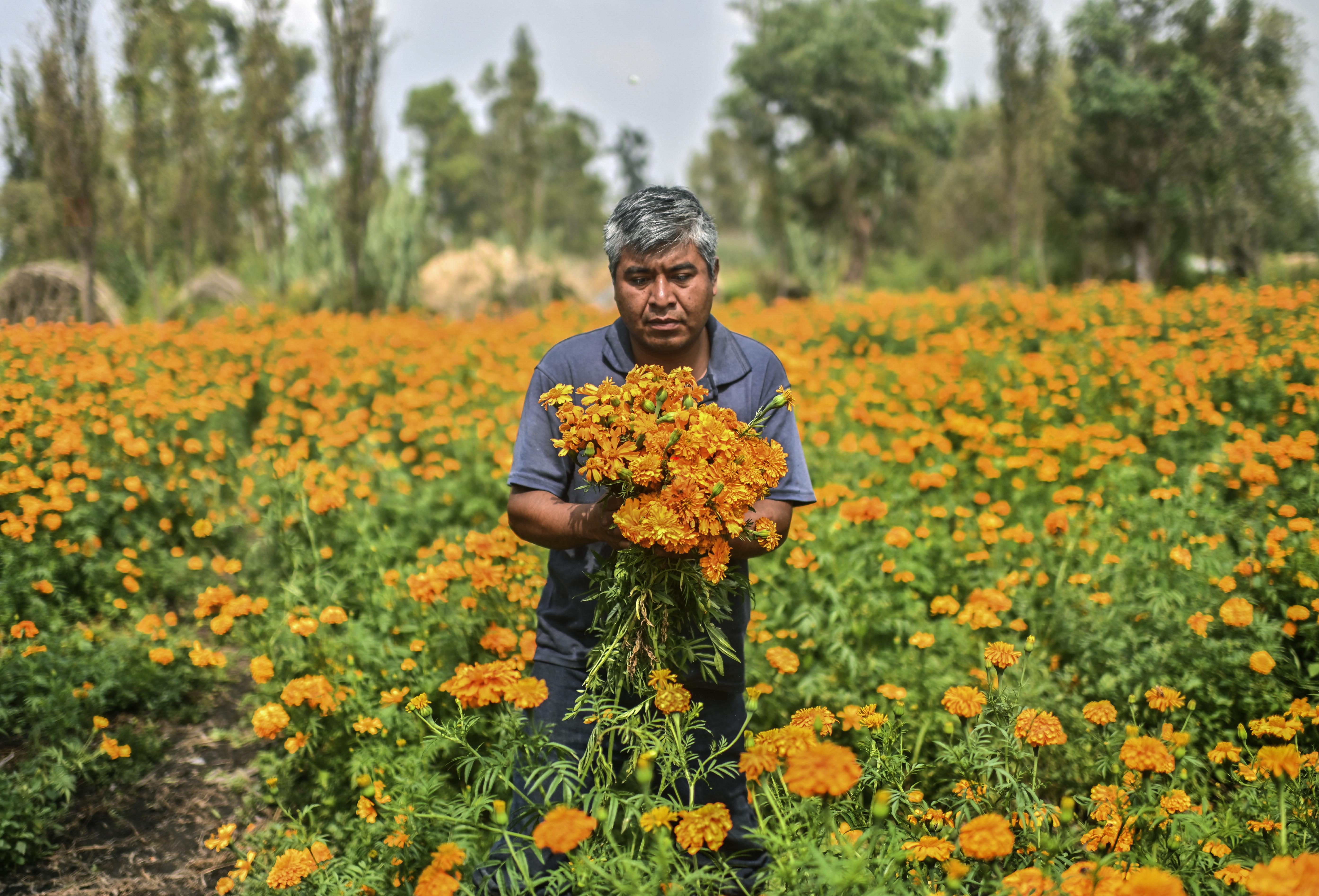 Luis Ricardo Sánchez, 36, cosecha flores de Cempasúchil.
