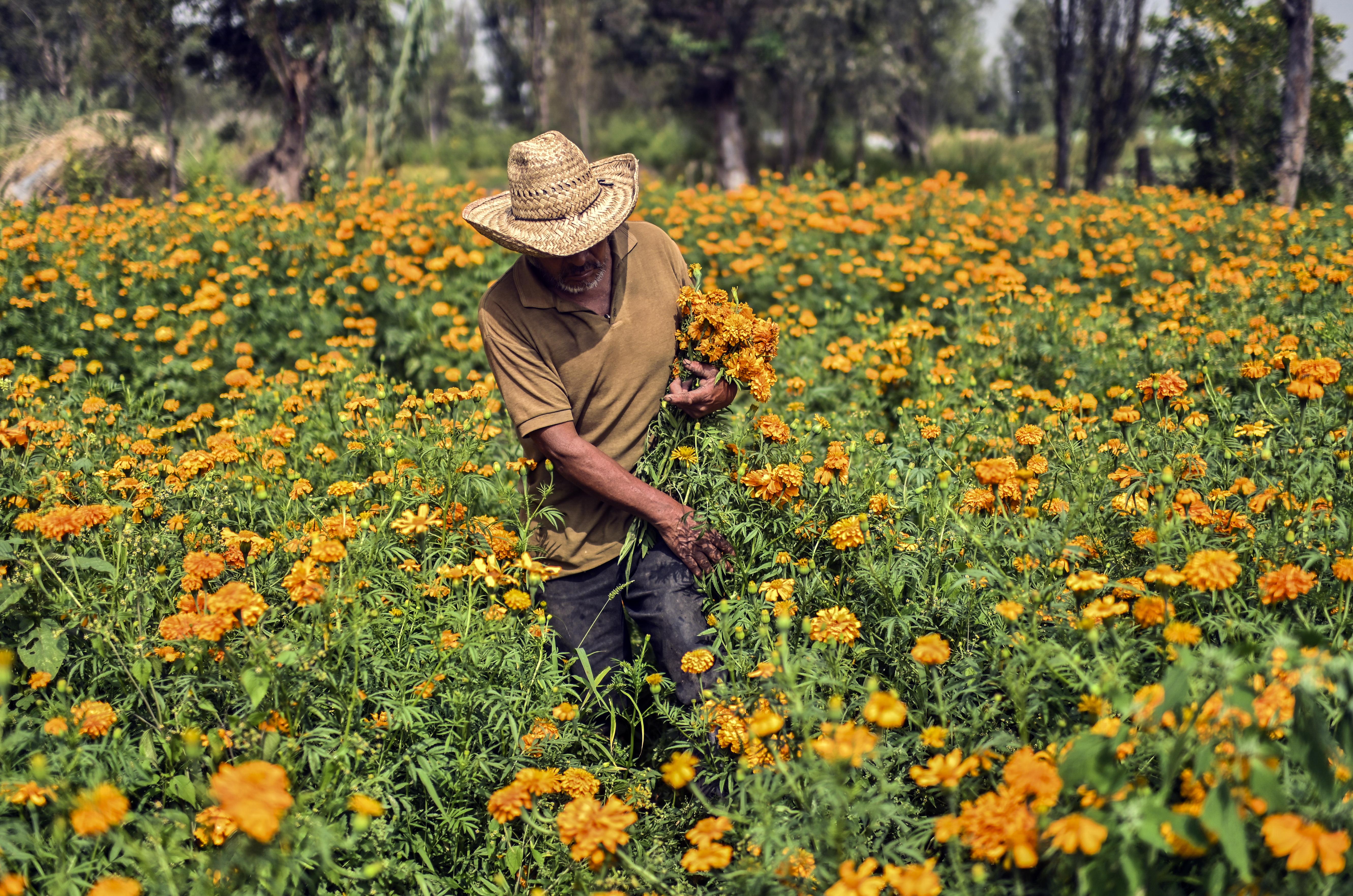 Anselmo Sánchez, 63, cosecha flores de cempasúchil, caléndula mexicana, en un campo de cultivo en una chinampa (jardines flotantes) en Xochimilco, Ciudad de México, el 13 de octubre de 2020.