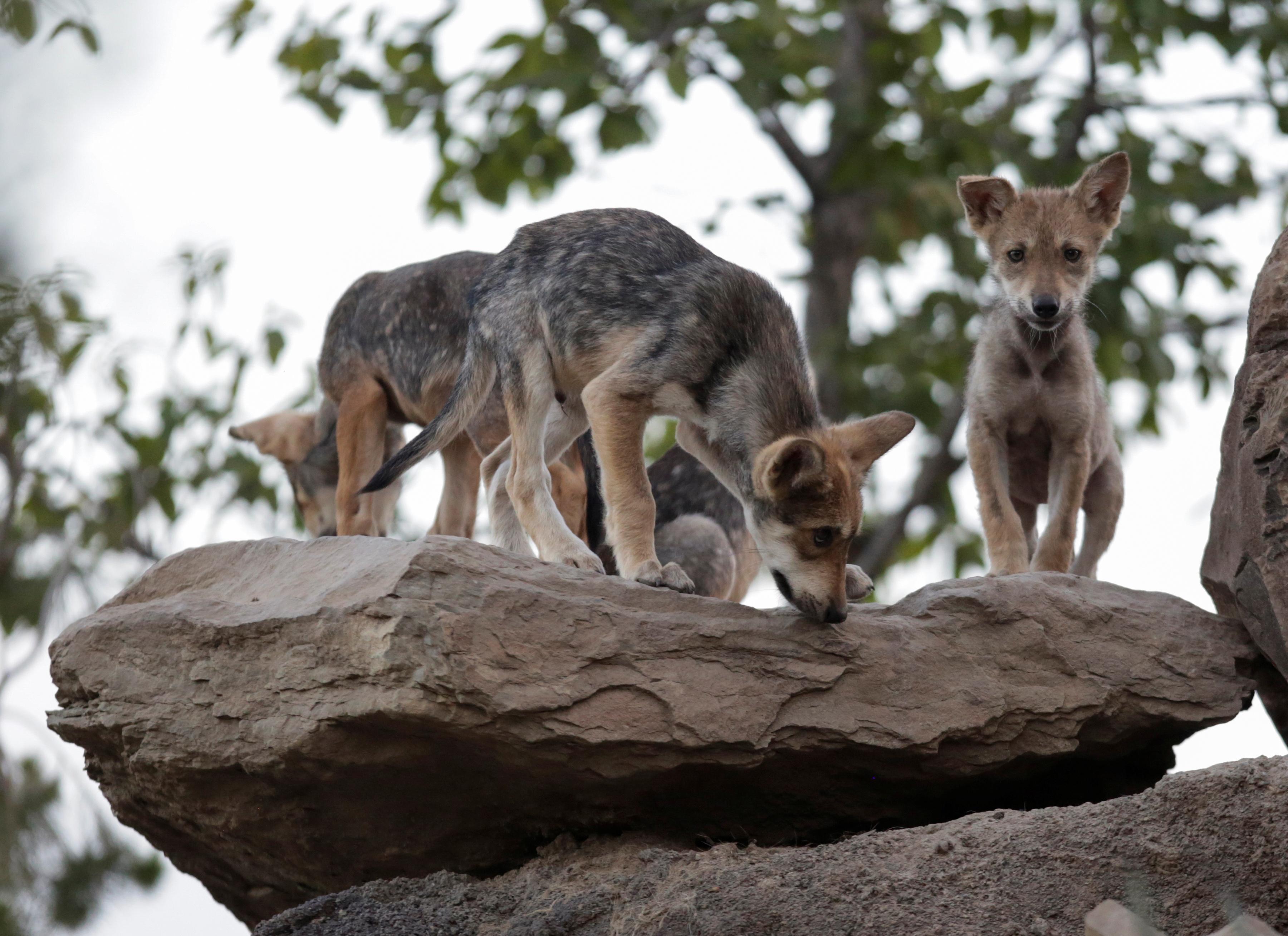 Actualmente, el Museo del Desierto tiene bajo resguardo un total de 18 ejemplares de lobo mexicano en sus albergues. 2 de julio, 2020. (Foto: REUTERS/Daniel Becerril)