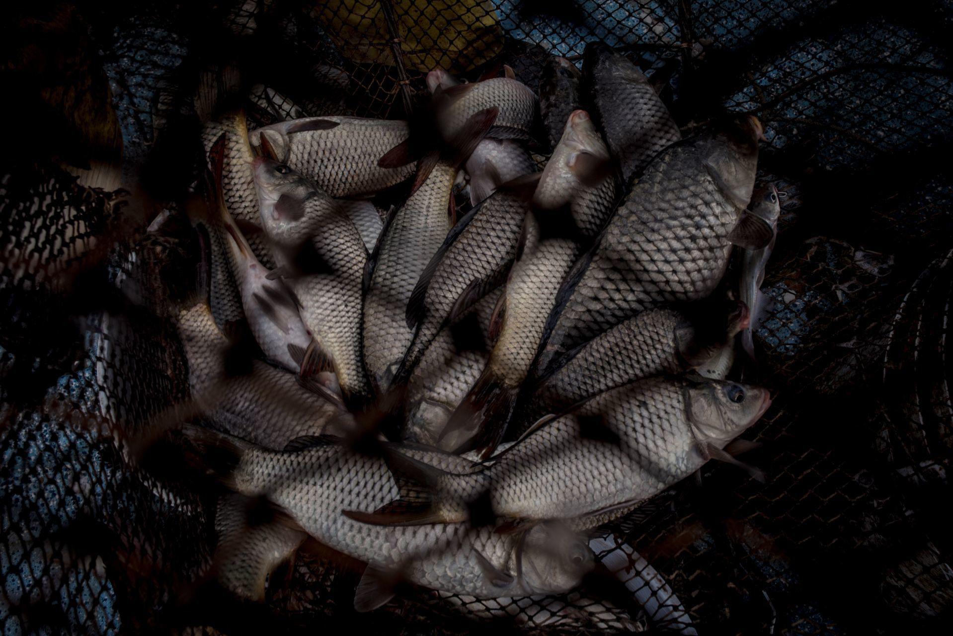 Pescados de la especie Carpa, en las redes de pesca. San Francisco de Conchos, Chihuahua, México. El 18 de septiembre de 2020.
