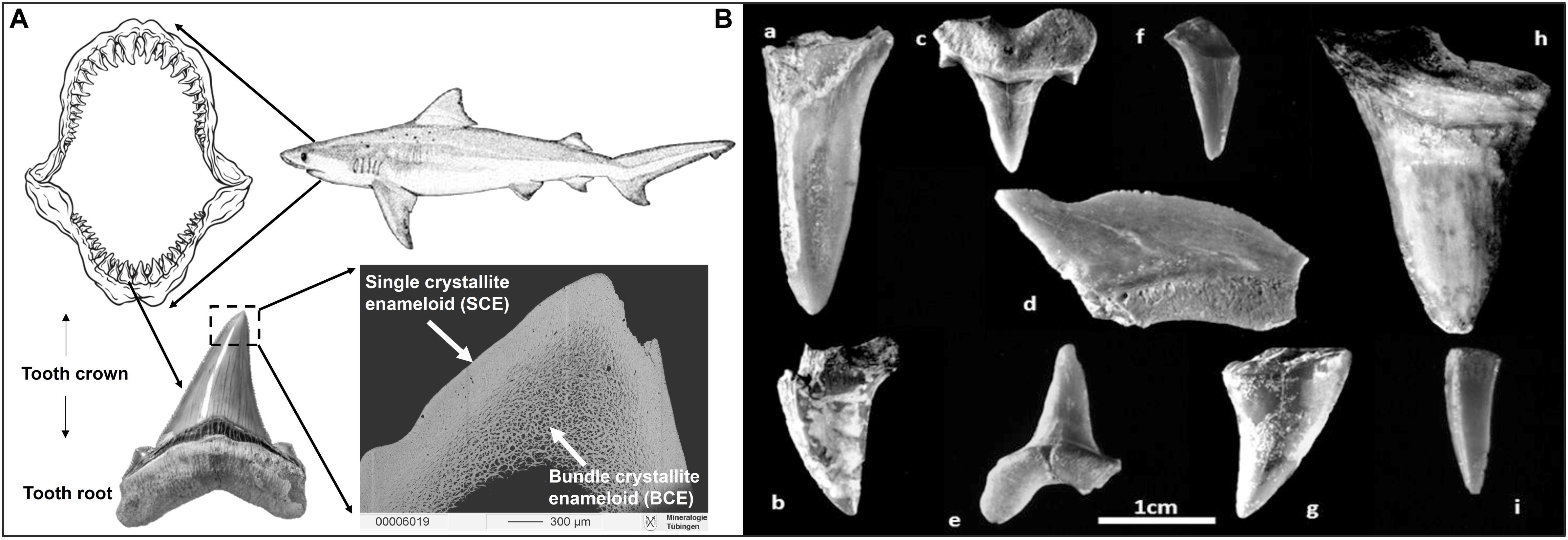 dientes de tiburón
