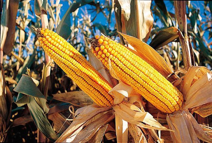 Para el sur del país las cifras son más alentadoras, los rendimientos orillarían los 7.000 kilos por hectárea. Foto: Archivo.