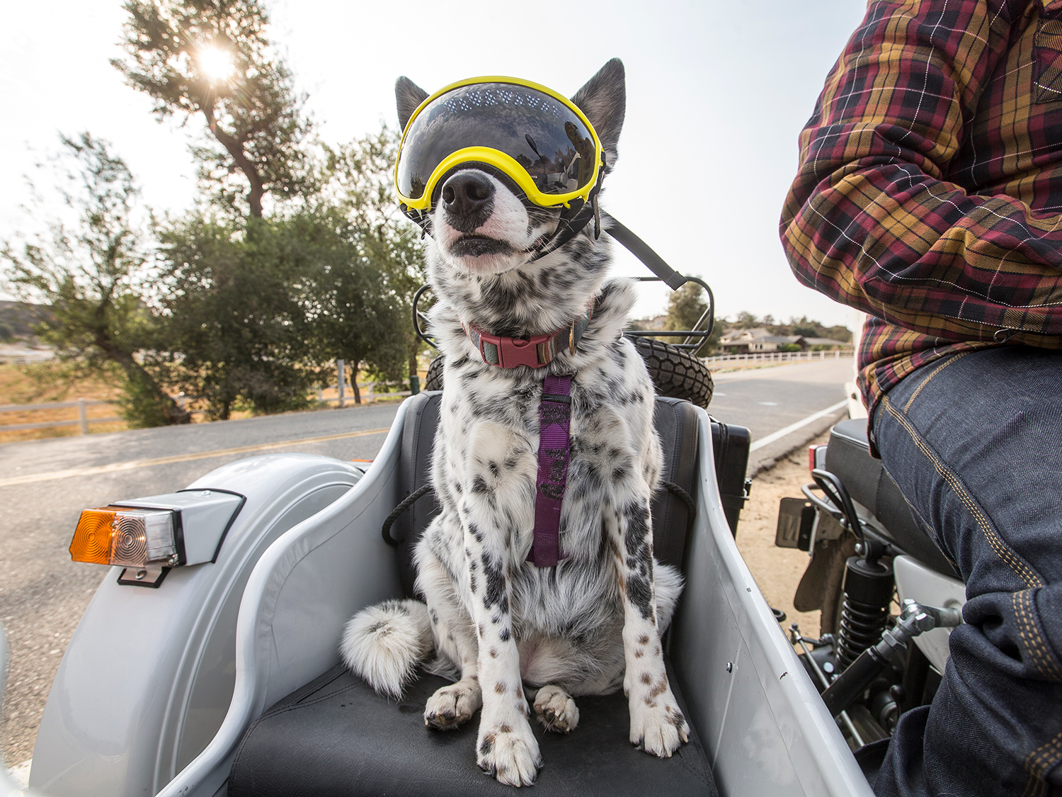 Gracie is an Australian Cattle Dog that loves going for rides in the Ural sidecar with her companion Justin