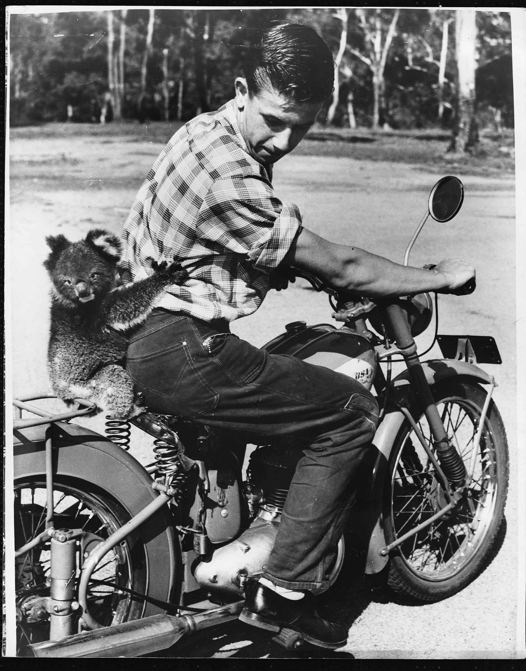 A pet koala, named Cuthbert, loves riding on his owner Ian's BSA in this photo from Australia in 1960.