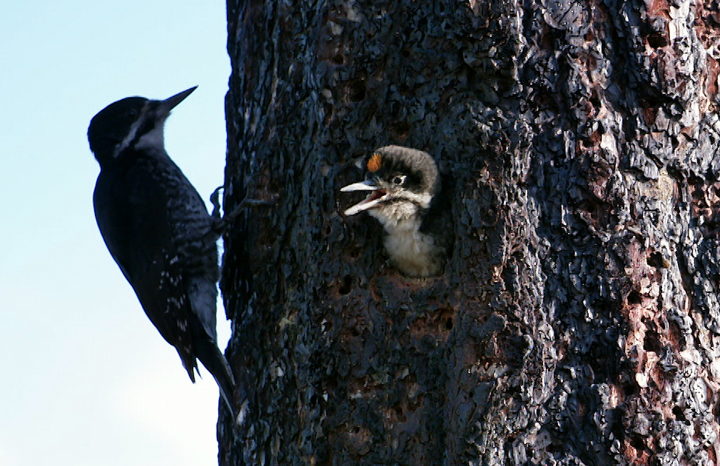 A black-backed woodpecker chick pokes its head out, hoping for a meal from its parent in the Malheur National Forest.