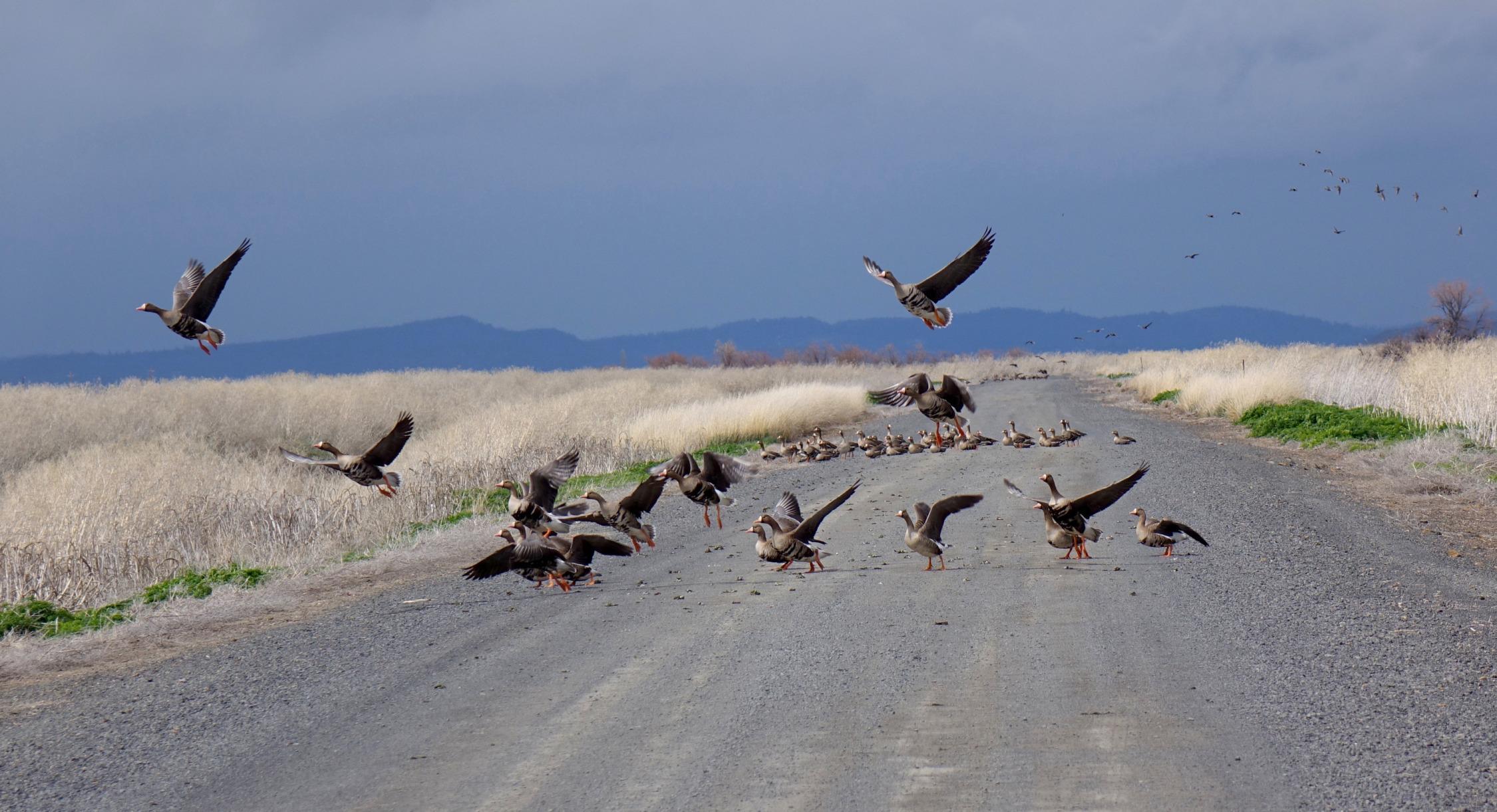 White fronted geese take flight on Lower Klamath National Wildlife Refuge.